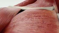 Musculus subclavius