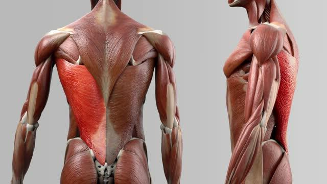 Musculus latissimus dorsi - DocCheck Flexikon