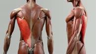 Musculus latissimus dorsi