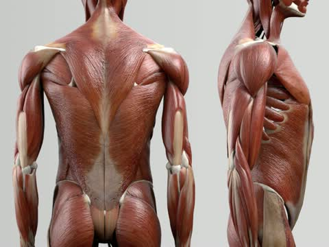 Musculi multifidi - DocCheck Flexikon