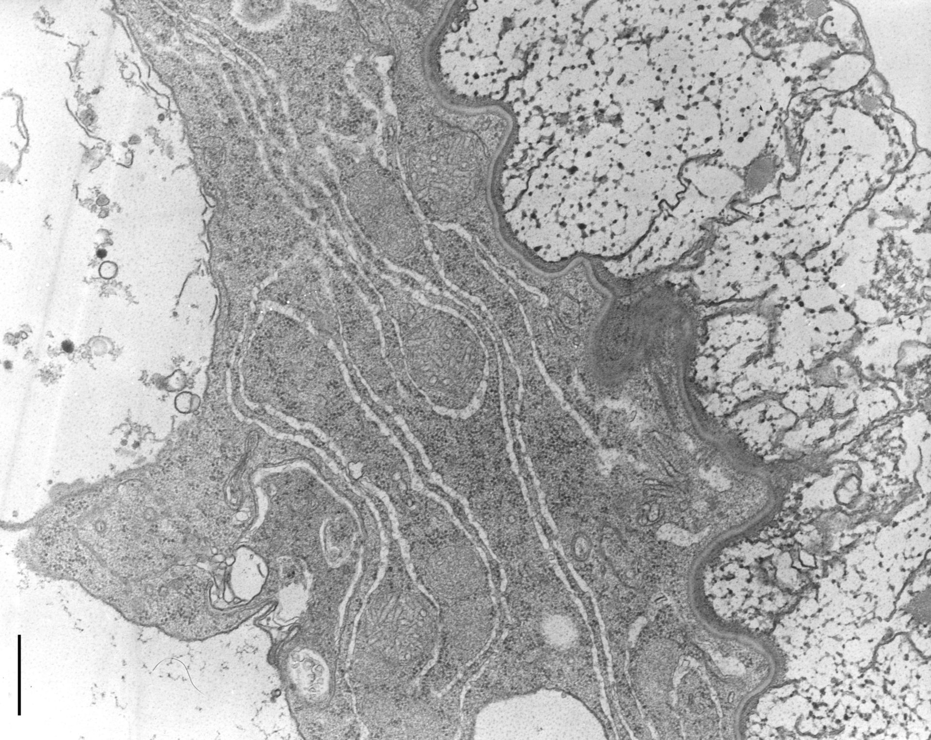 Nassula (mitocondrio tubulare) - CIL:9833