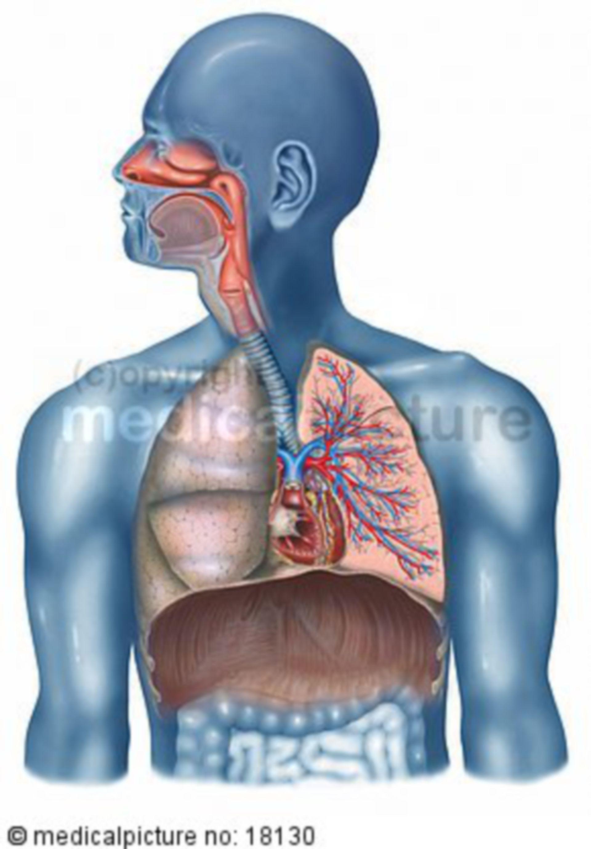 Respiratory system, airways