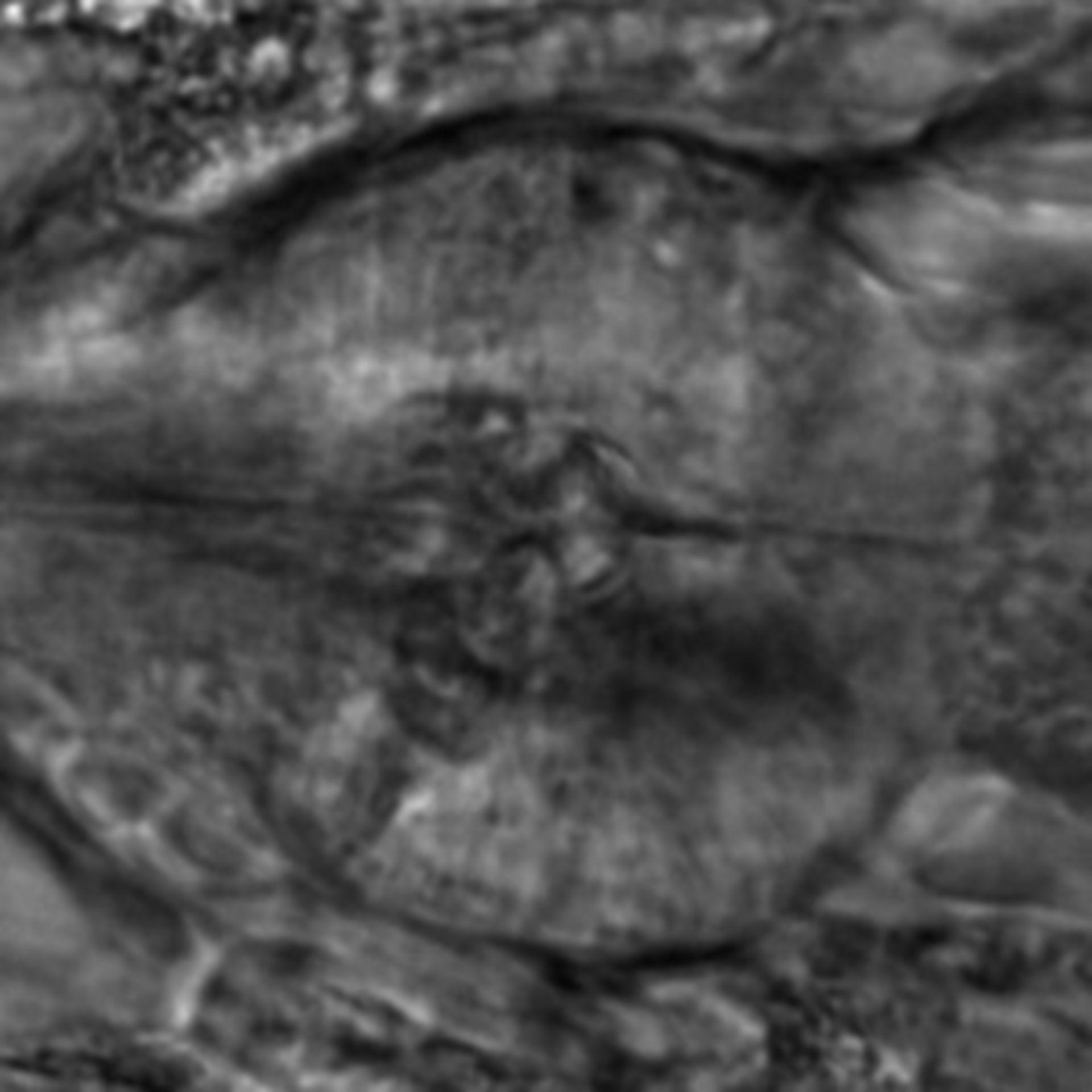 Caenorhabditis elegans - CIL:2218