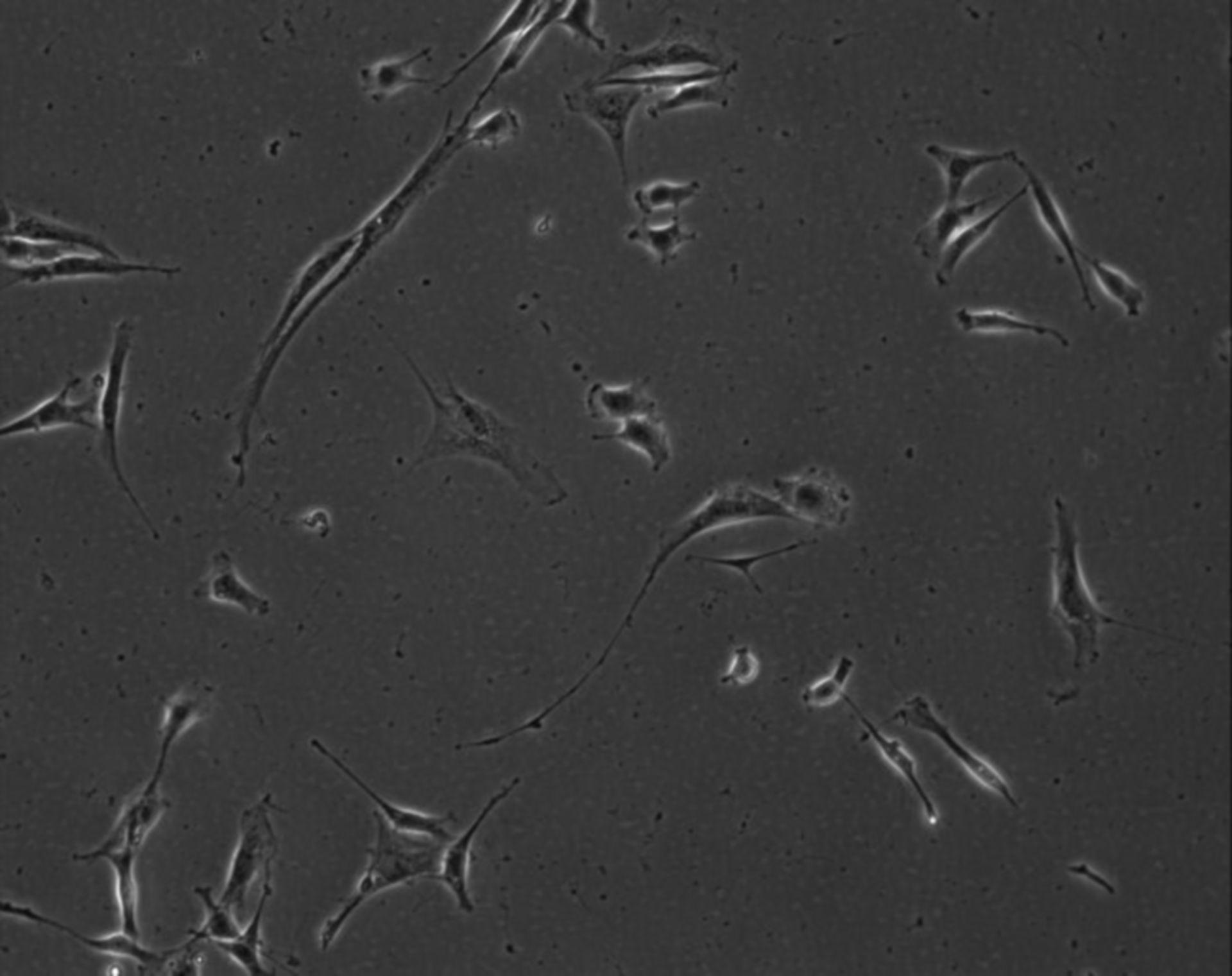 Mus musculus (Extracellular matrix part) - CIL:8993