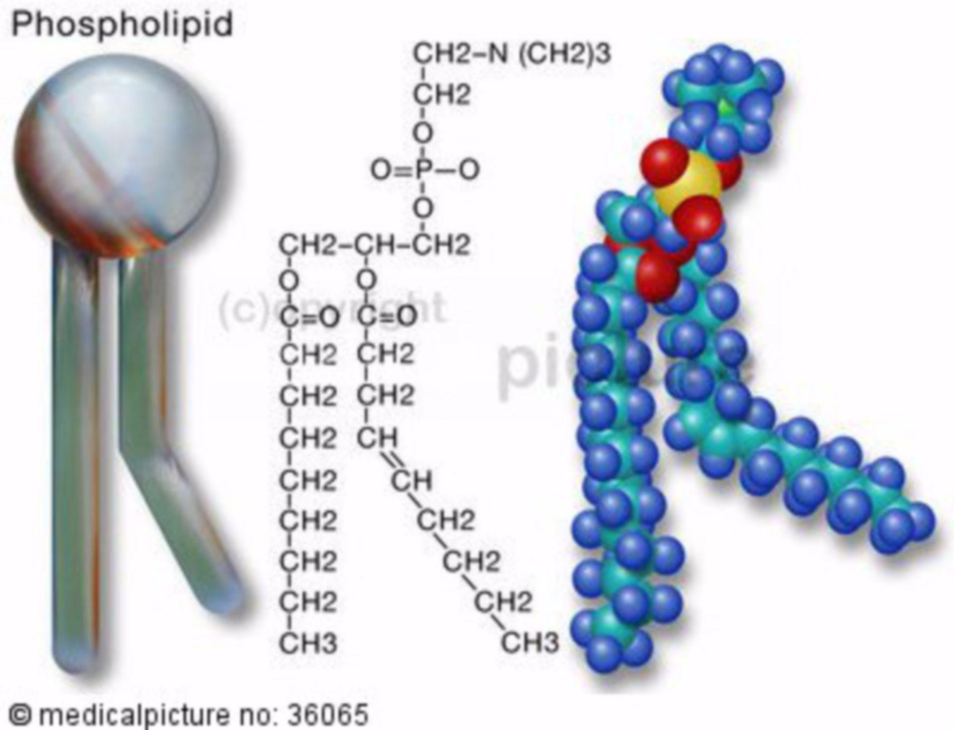 Phospholipide,Fette, lipid