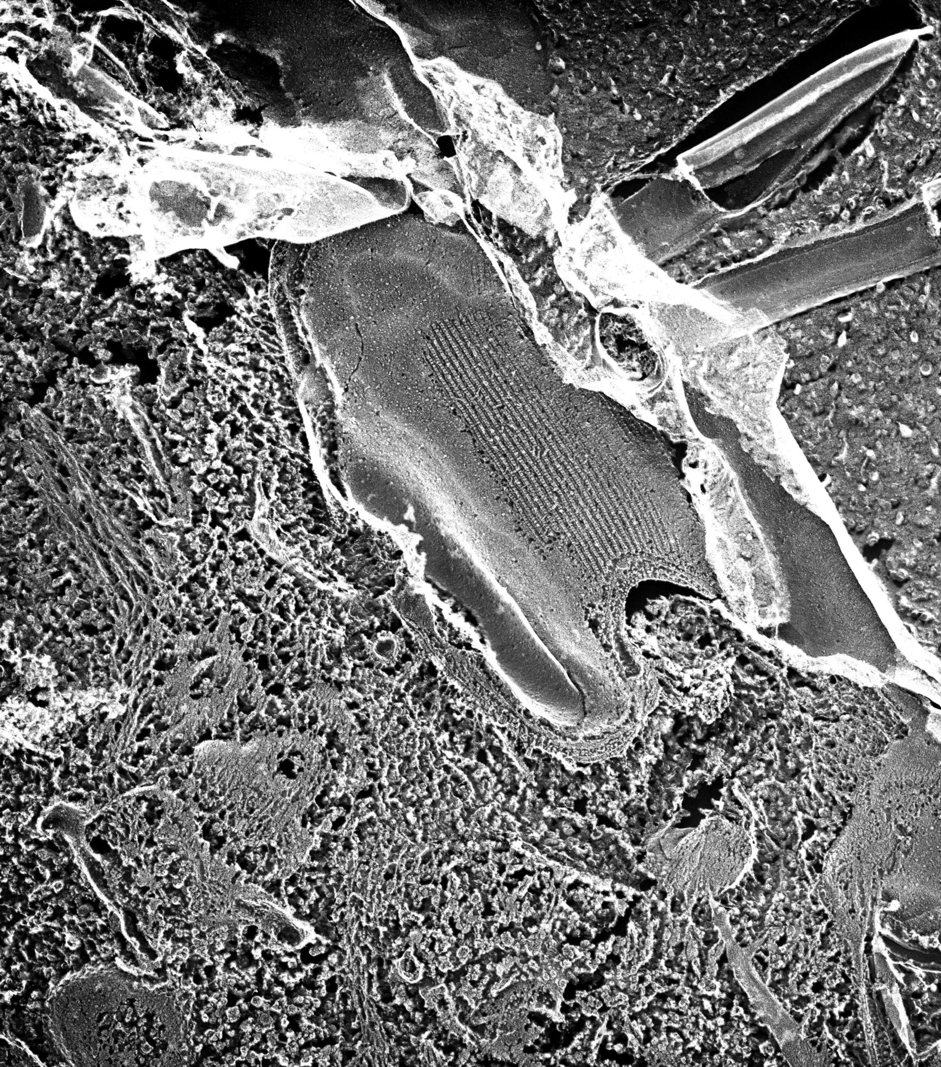 Paramecium multimicronucleatum (membrana plasmatica) - CIL:39314
