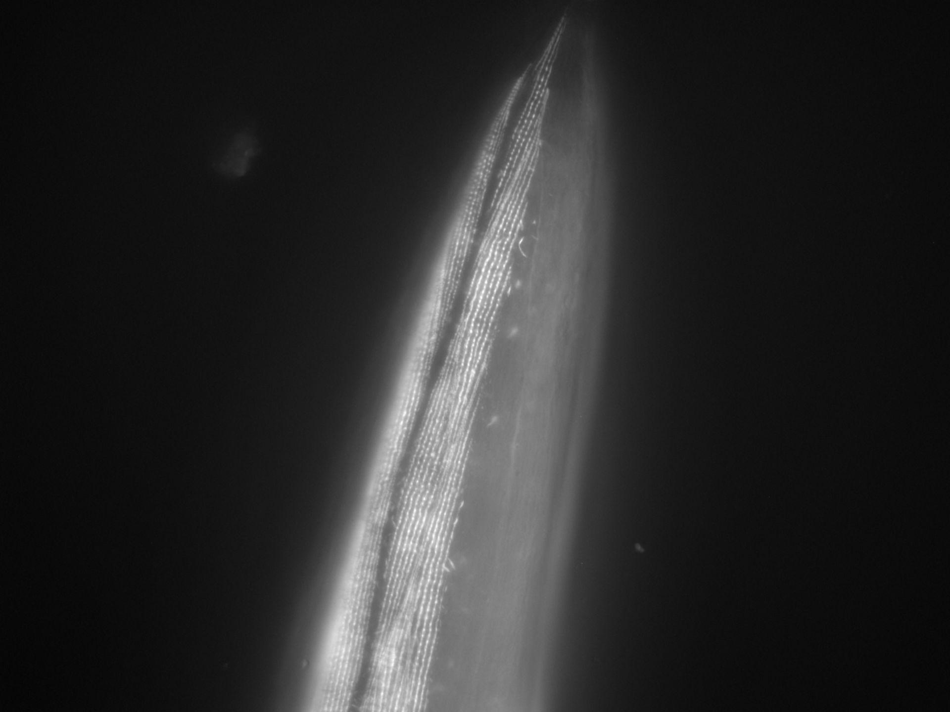 Caenorhabditis elegans (Actin filament) - CIL:1014