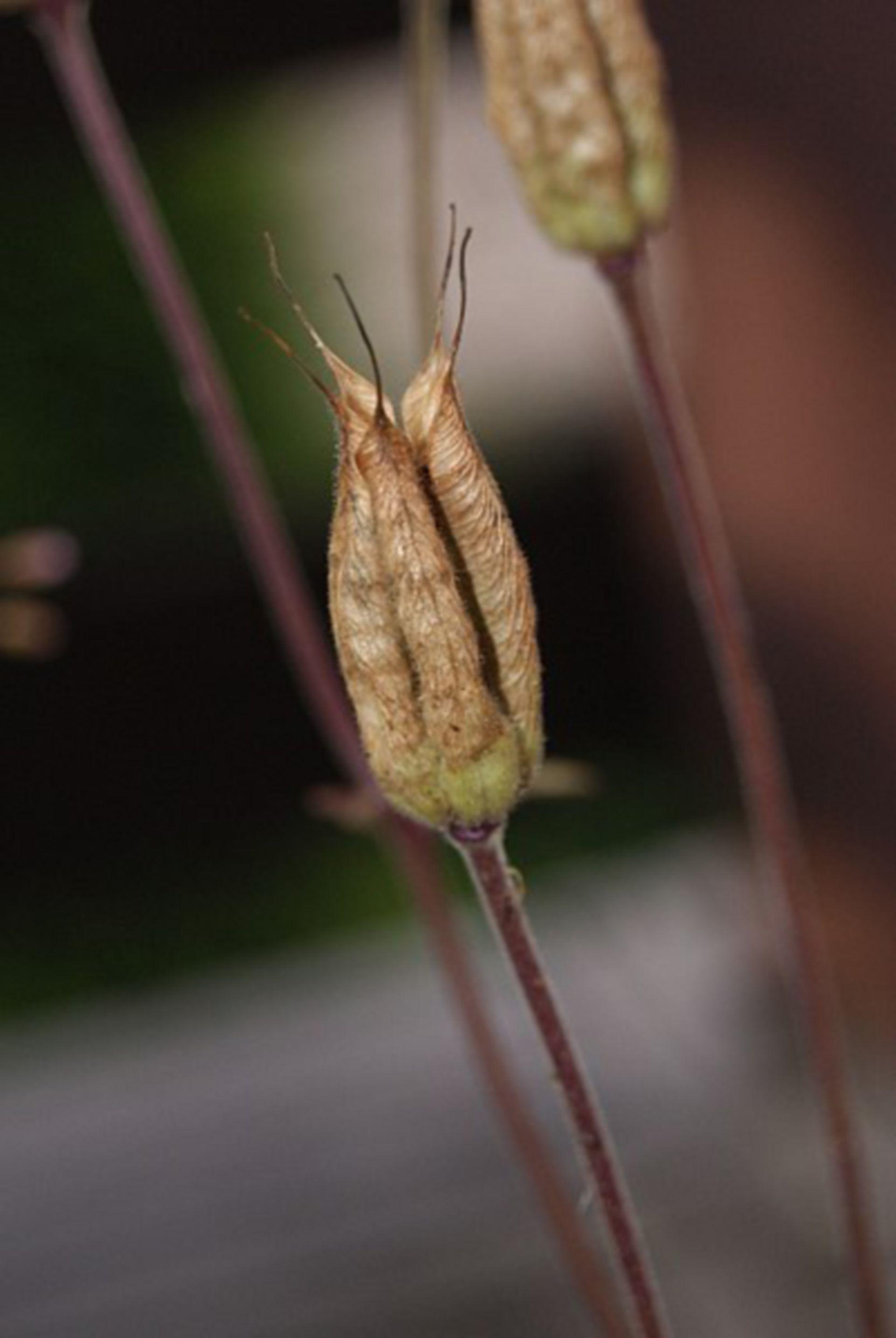 Aquilegia alpina (Fruchtstand)
