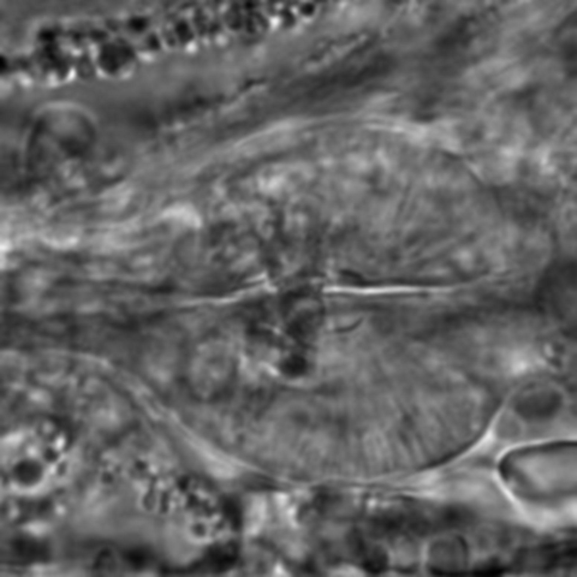 Caenorhabditis elegans - CIL:2054