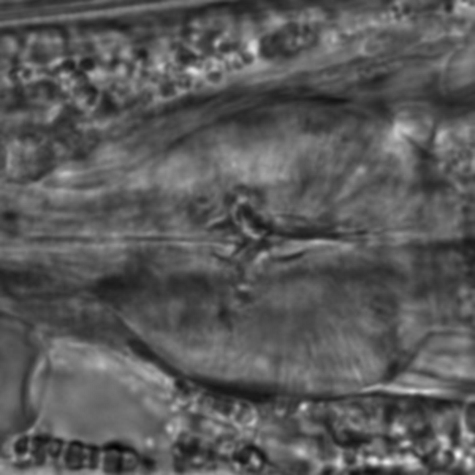 Caenorhabditis elegans - CIL:1791
