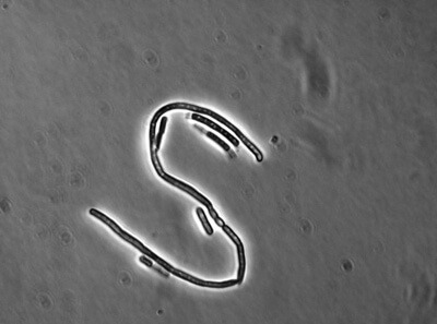 1601_Bacillus_schmuck