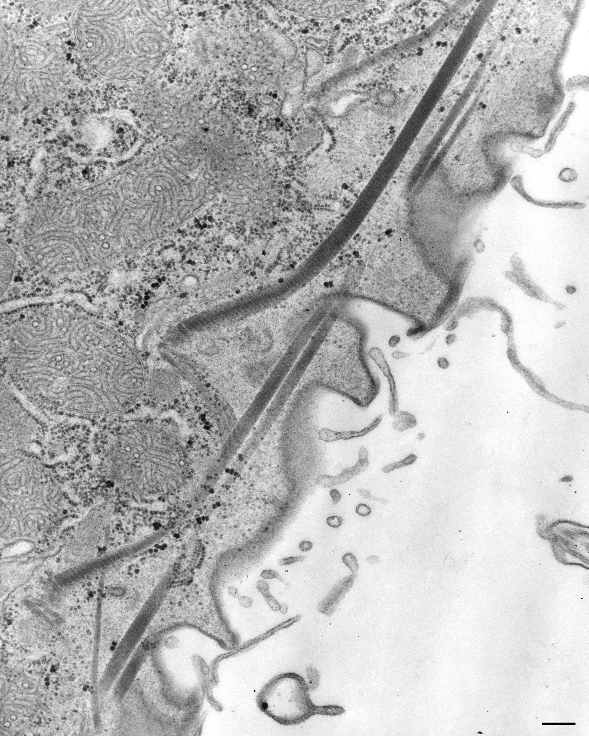 Paramecium caudatum (Kinetodesmal fiber) - CIL:36764