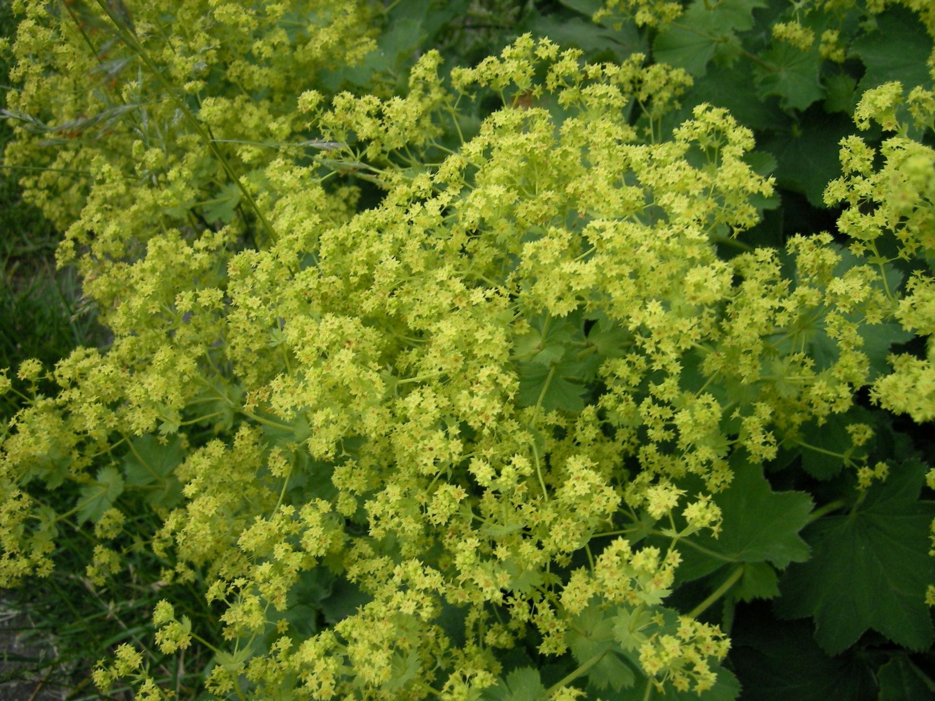 Pianta medicinale: Alchemilla vulgaris