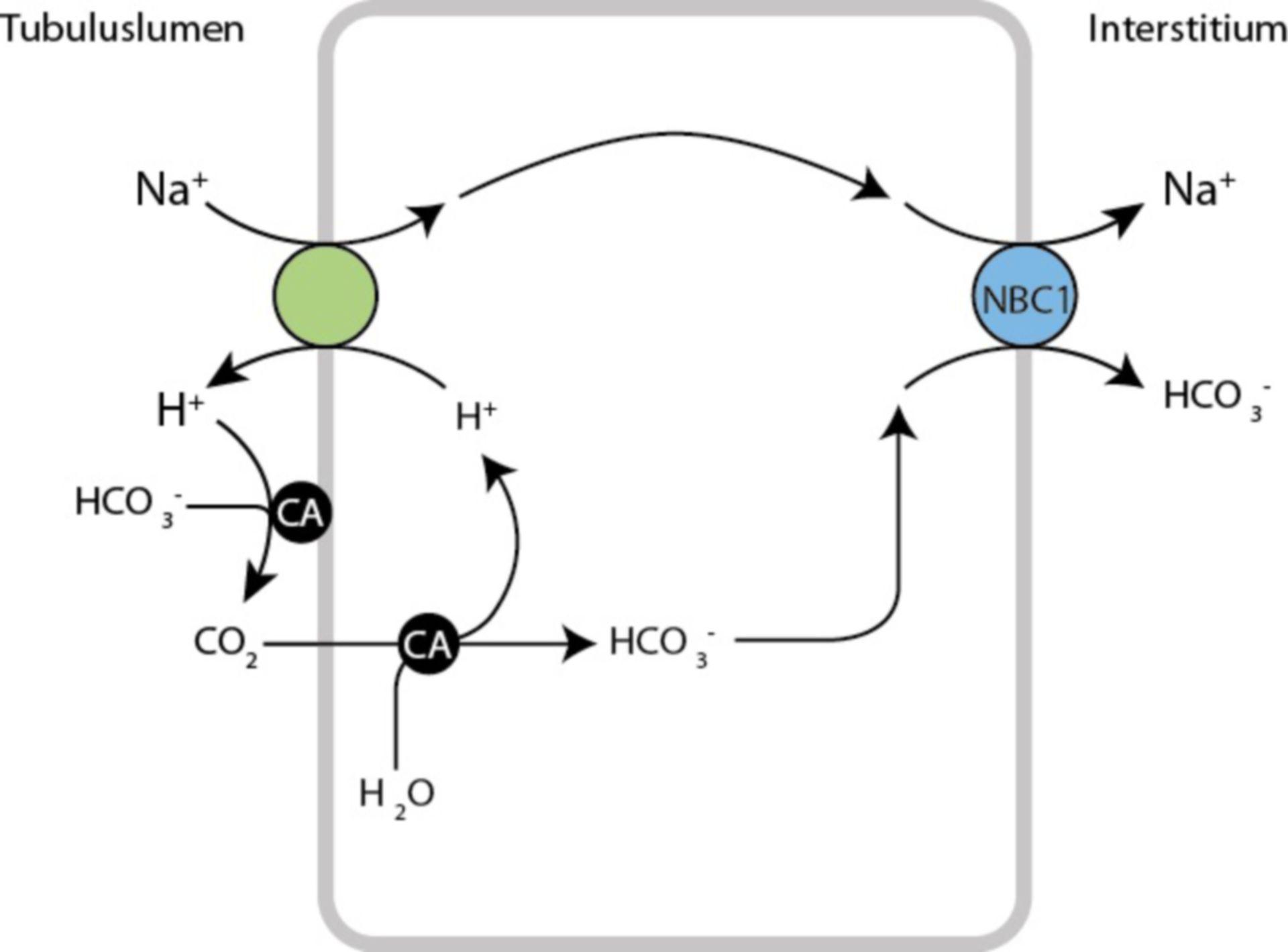 Bicarbonate resorption in the proximal tubule