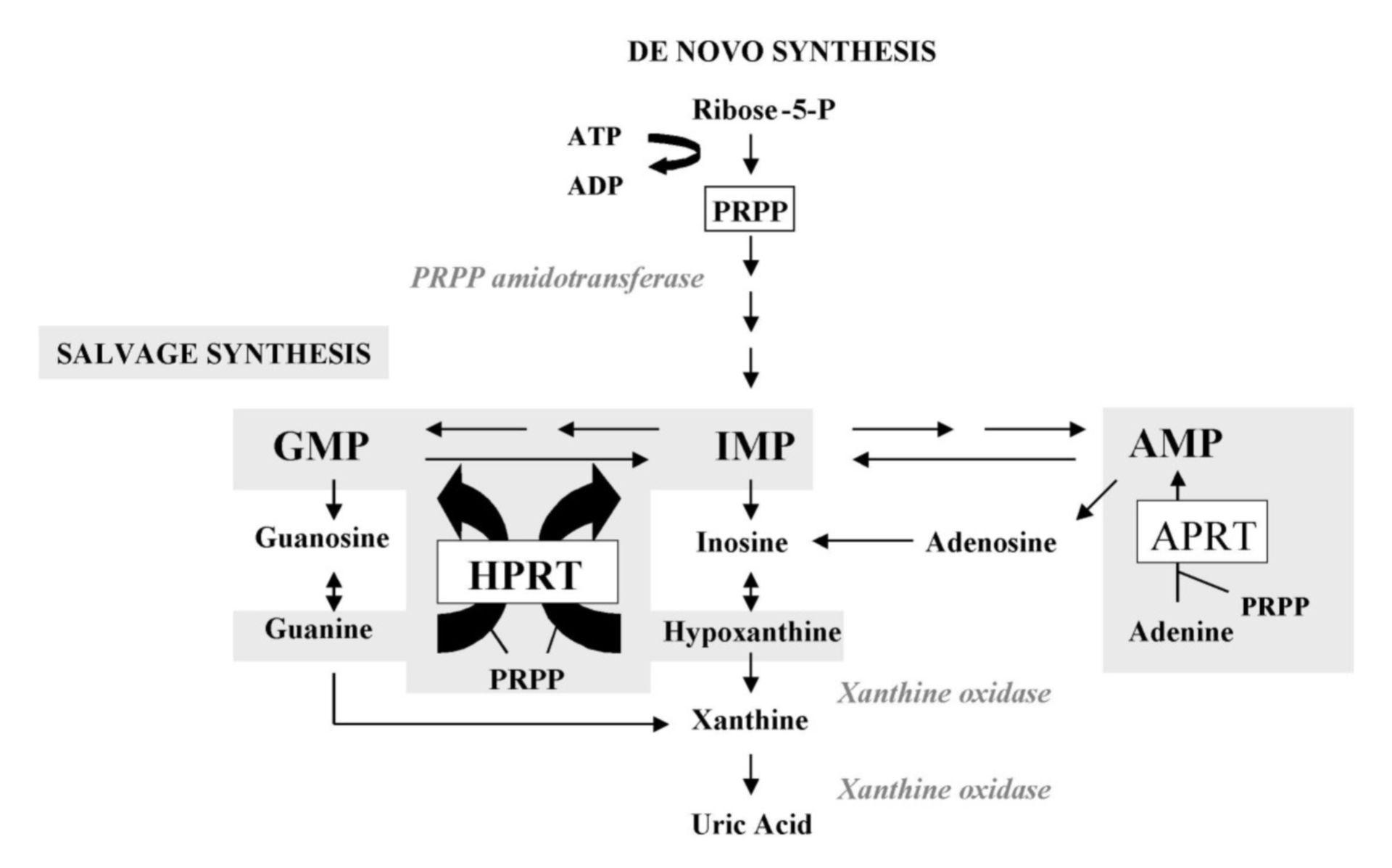Metabolismo di purina