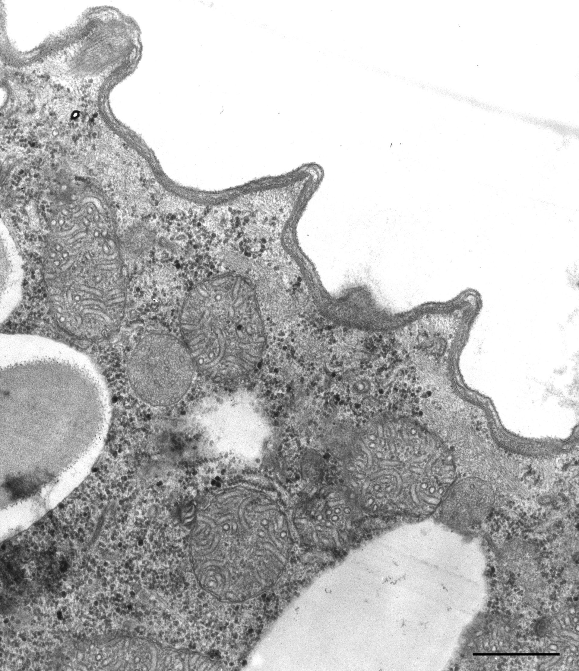 Paramecium caudatum (Cell cortex) - CIL:36759