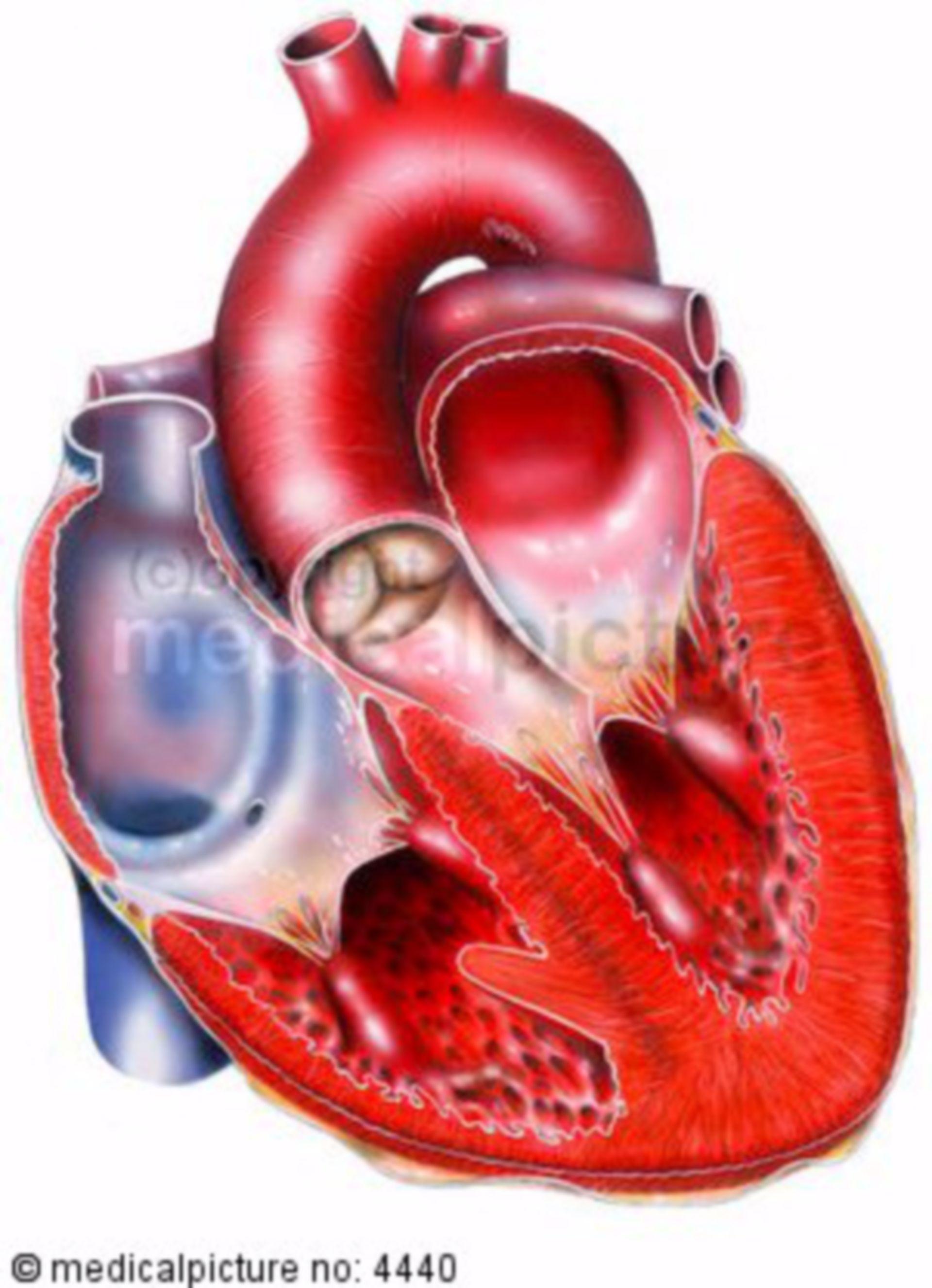 Heart, anatomical model