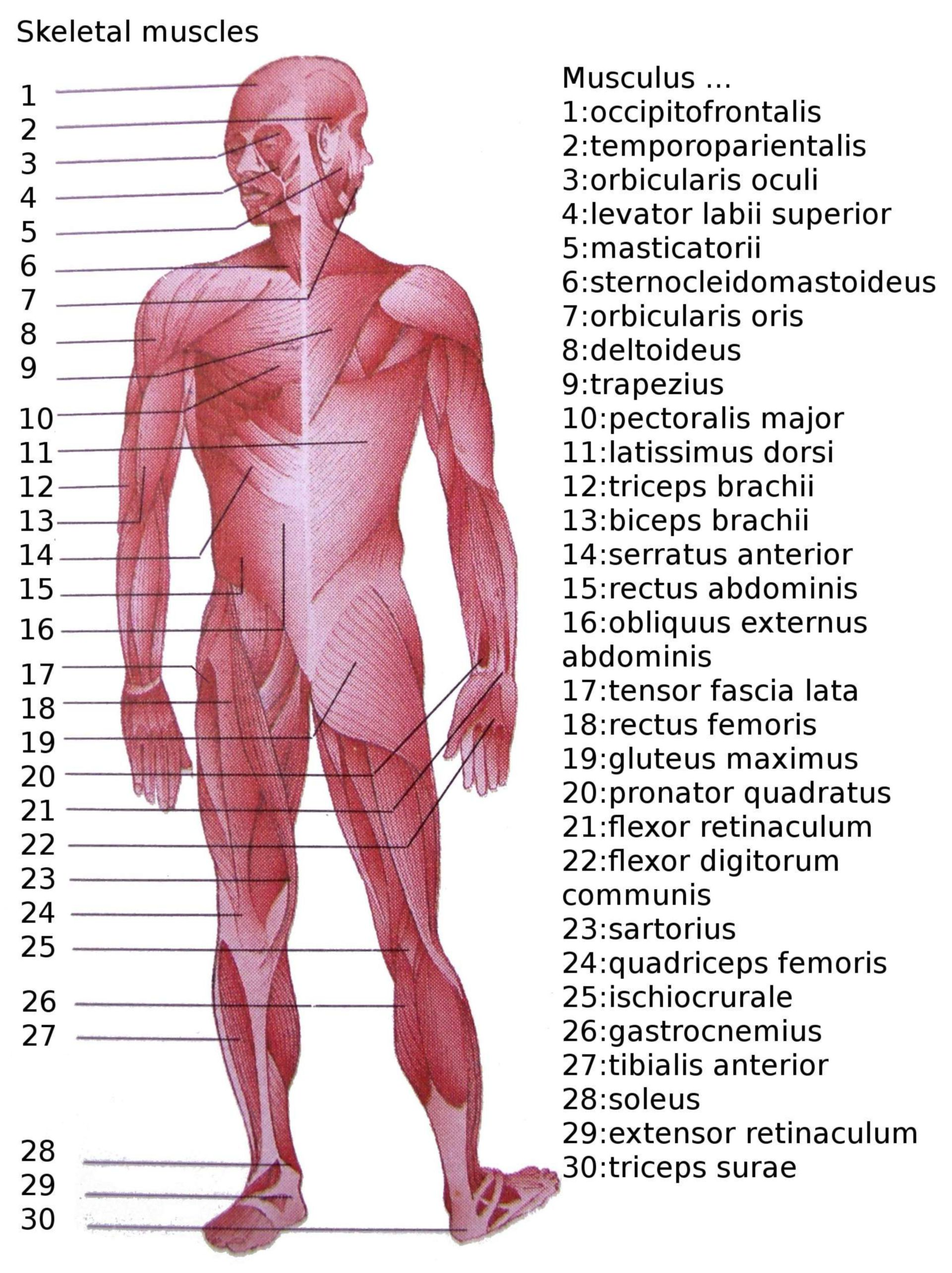 Skeletal muscles of humans (overview diagram)