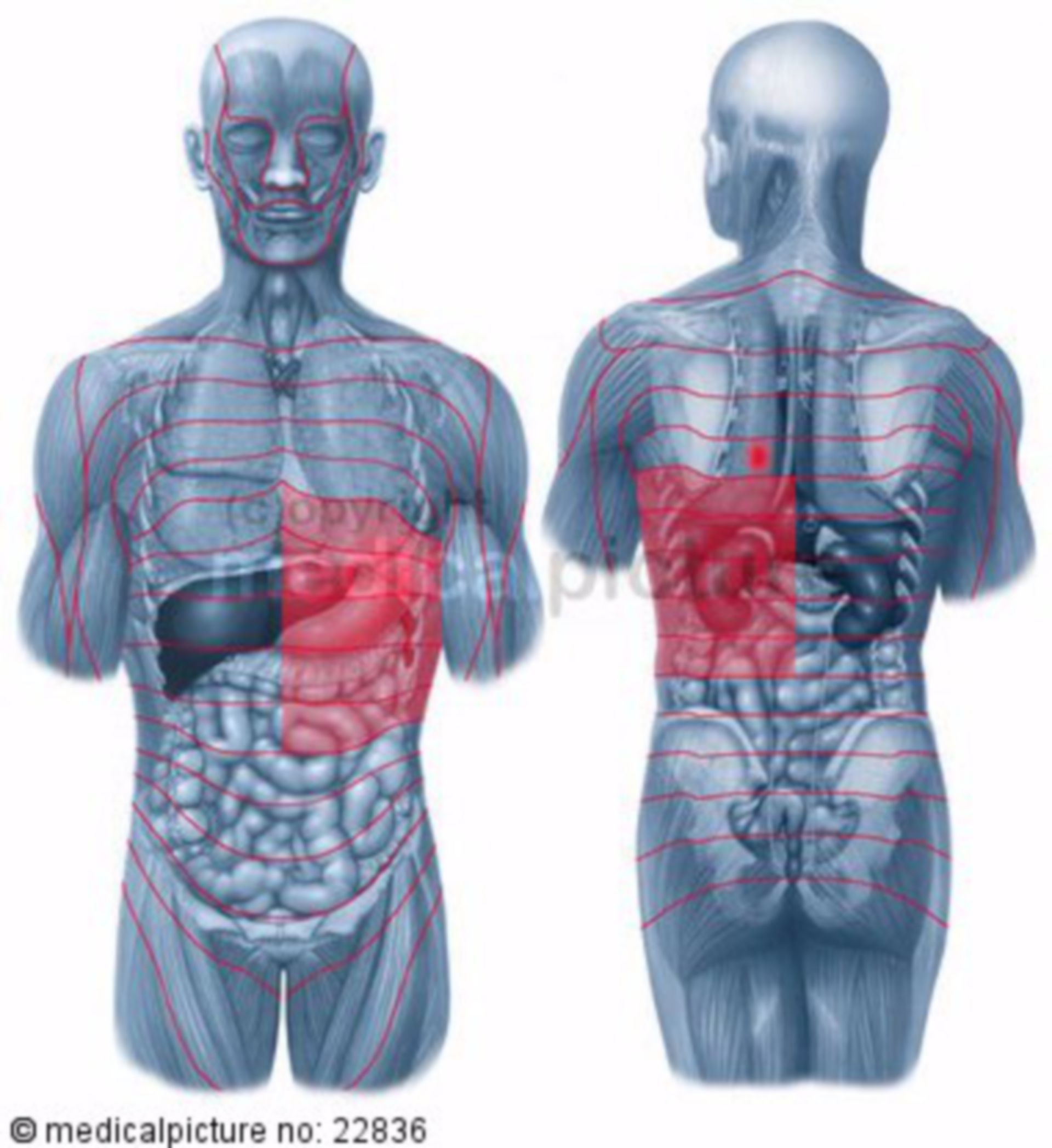 Stomach: zones of referred pain