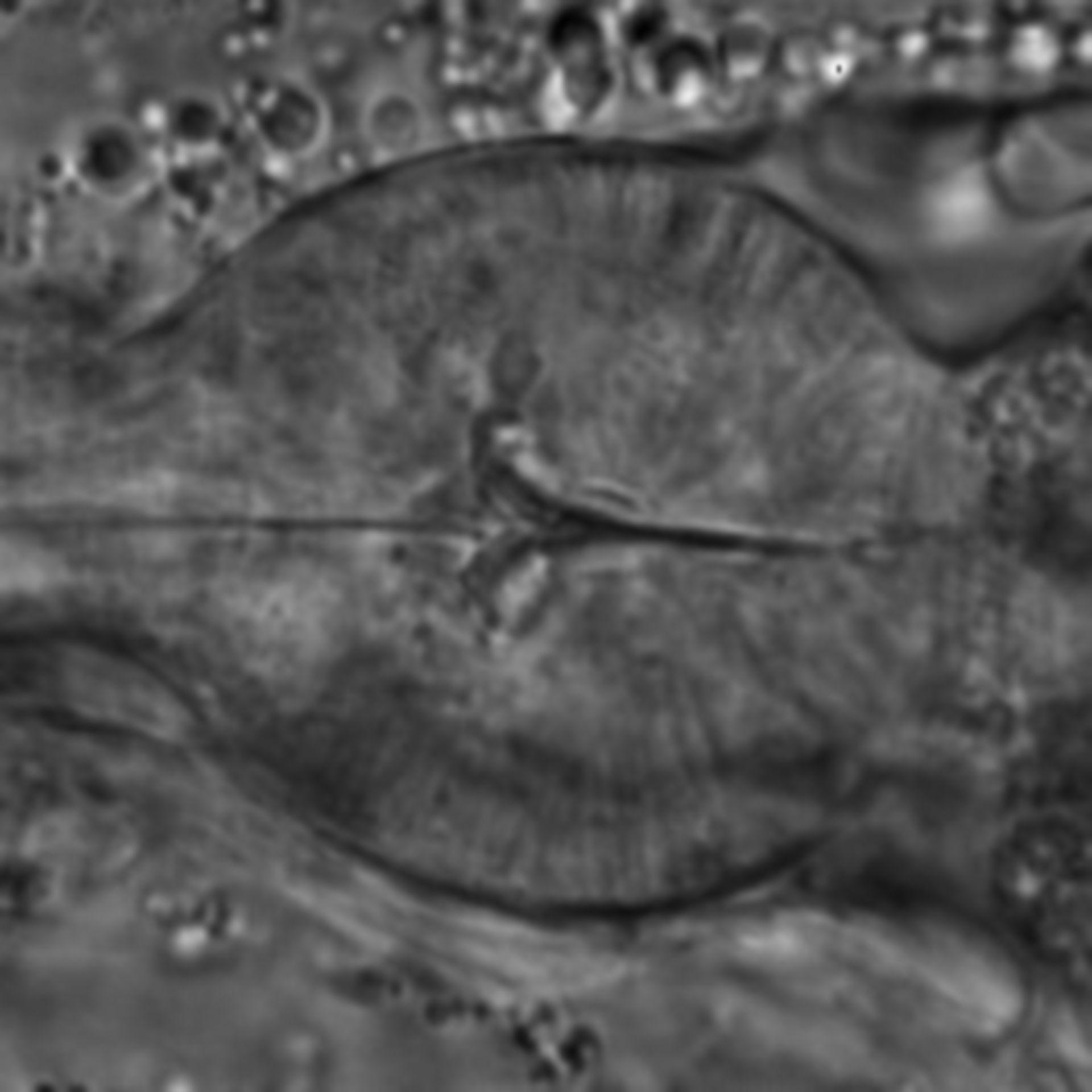Caenorhabditis elegans - CIL:1708