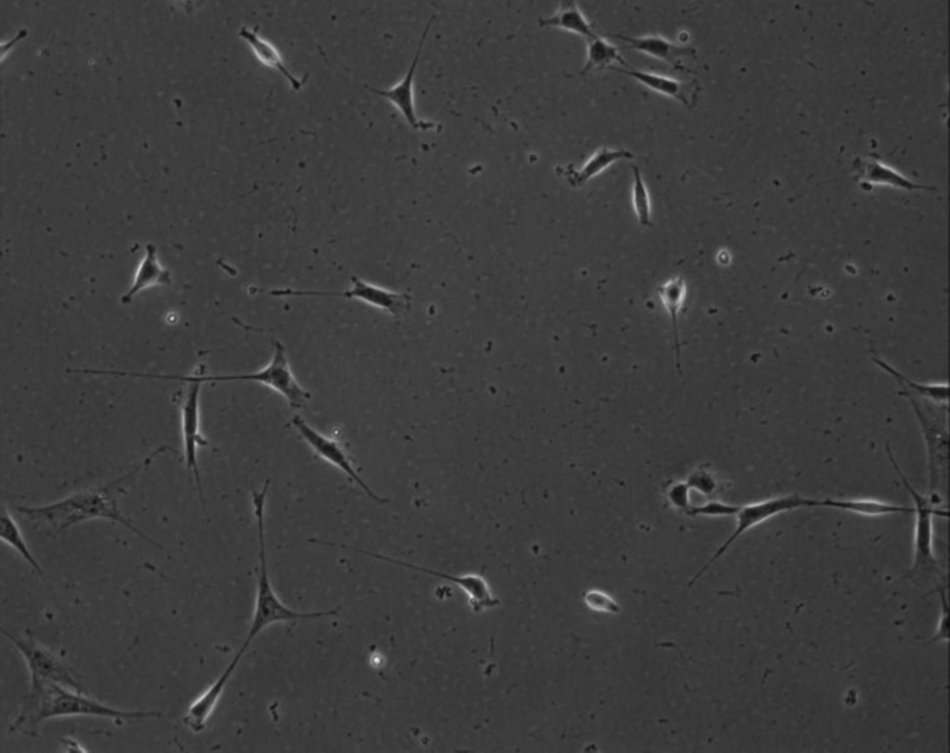 Mus musculus (Extracellular matrix part) - CIL:8902