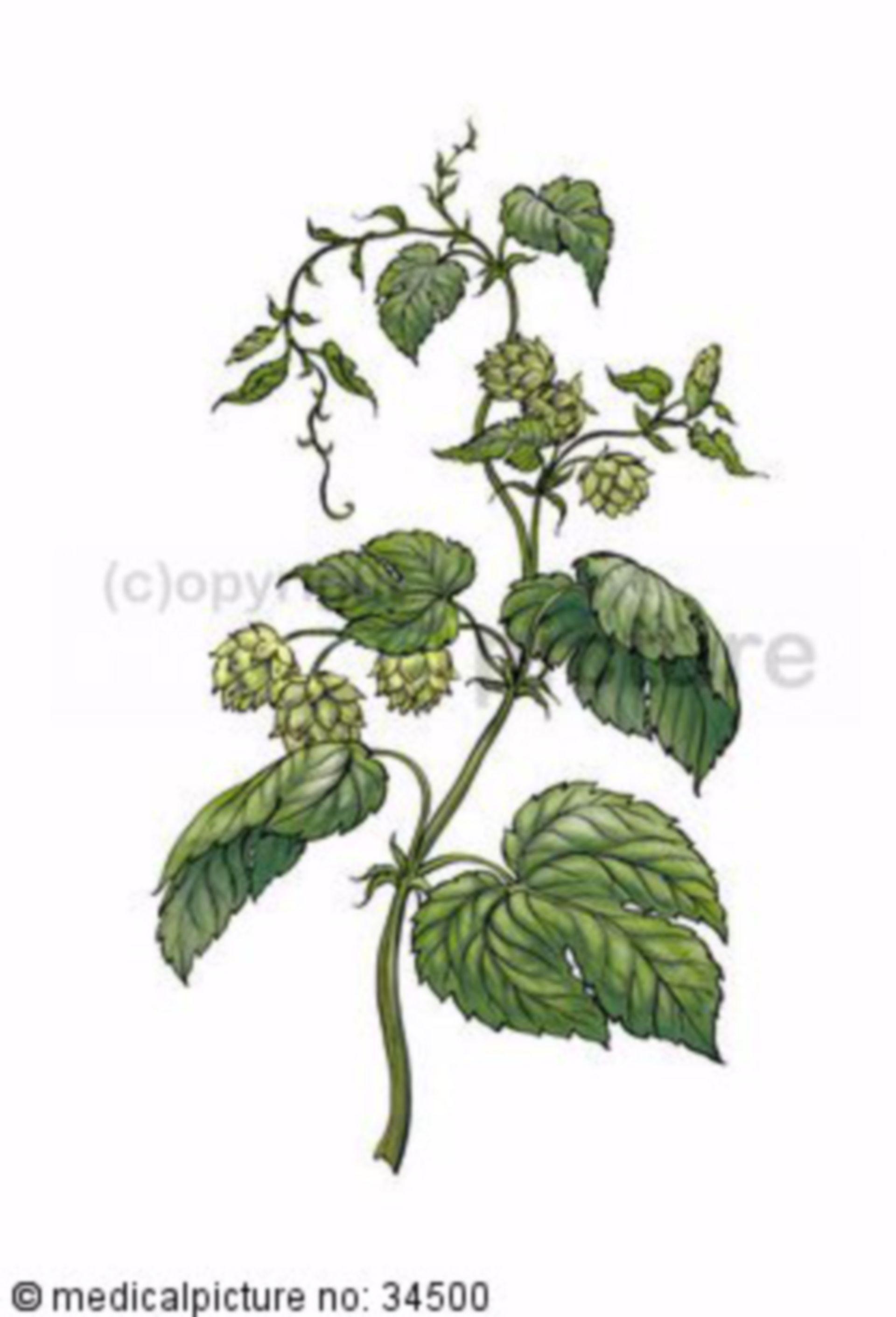 Common hop, humulus lupulus