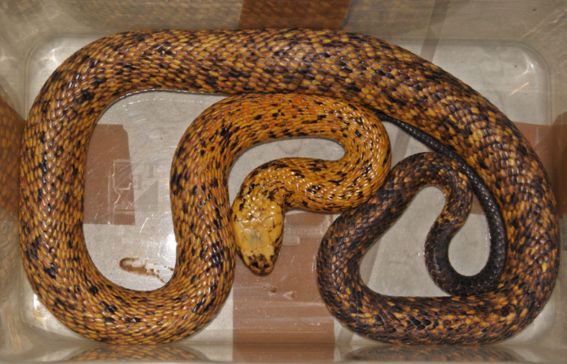 Cobra del Cabo