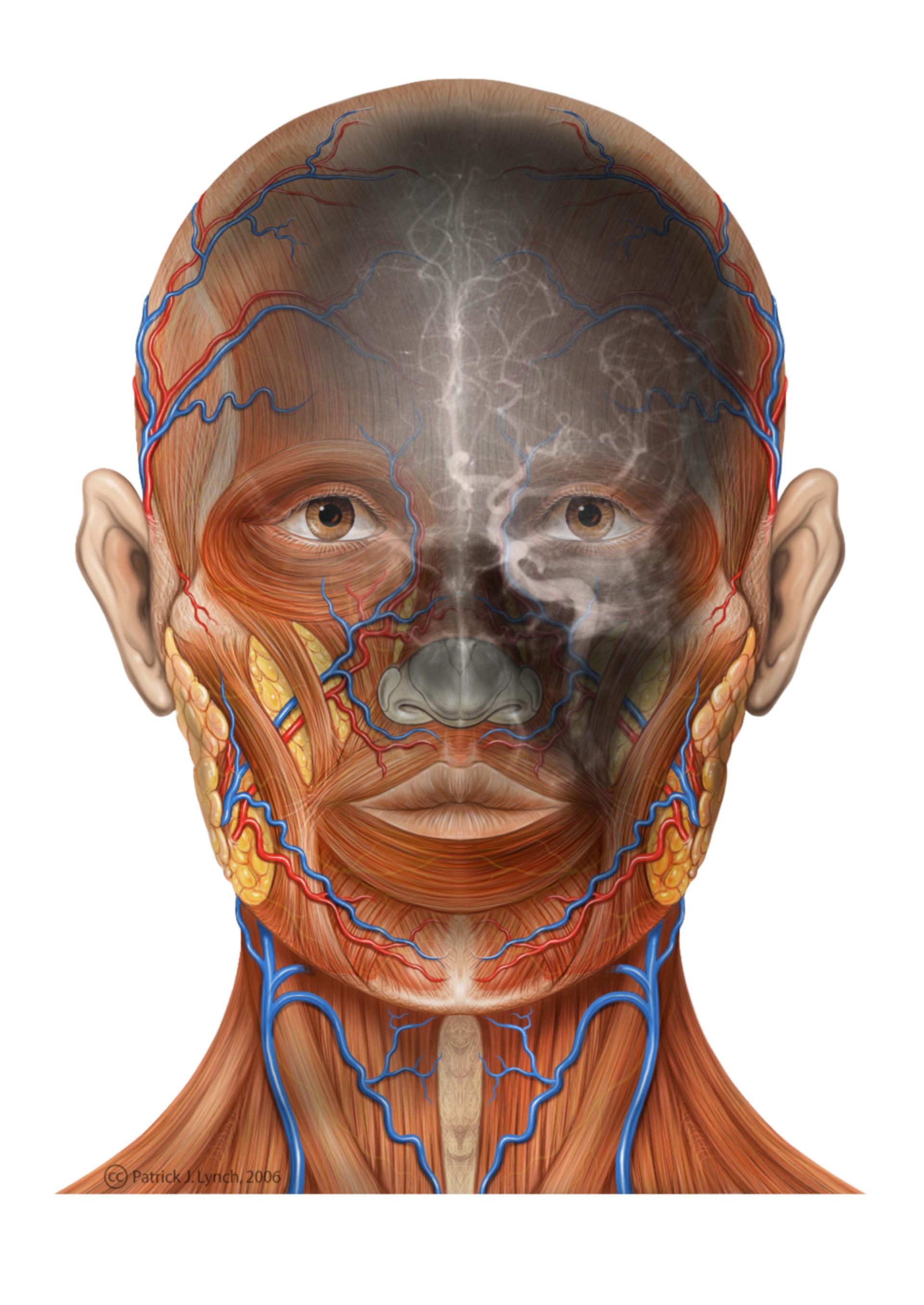 Anatomie des Kopfes (Illustration mit Angiogramm)