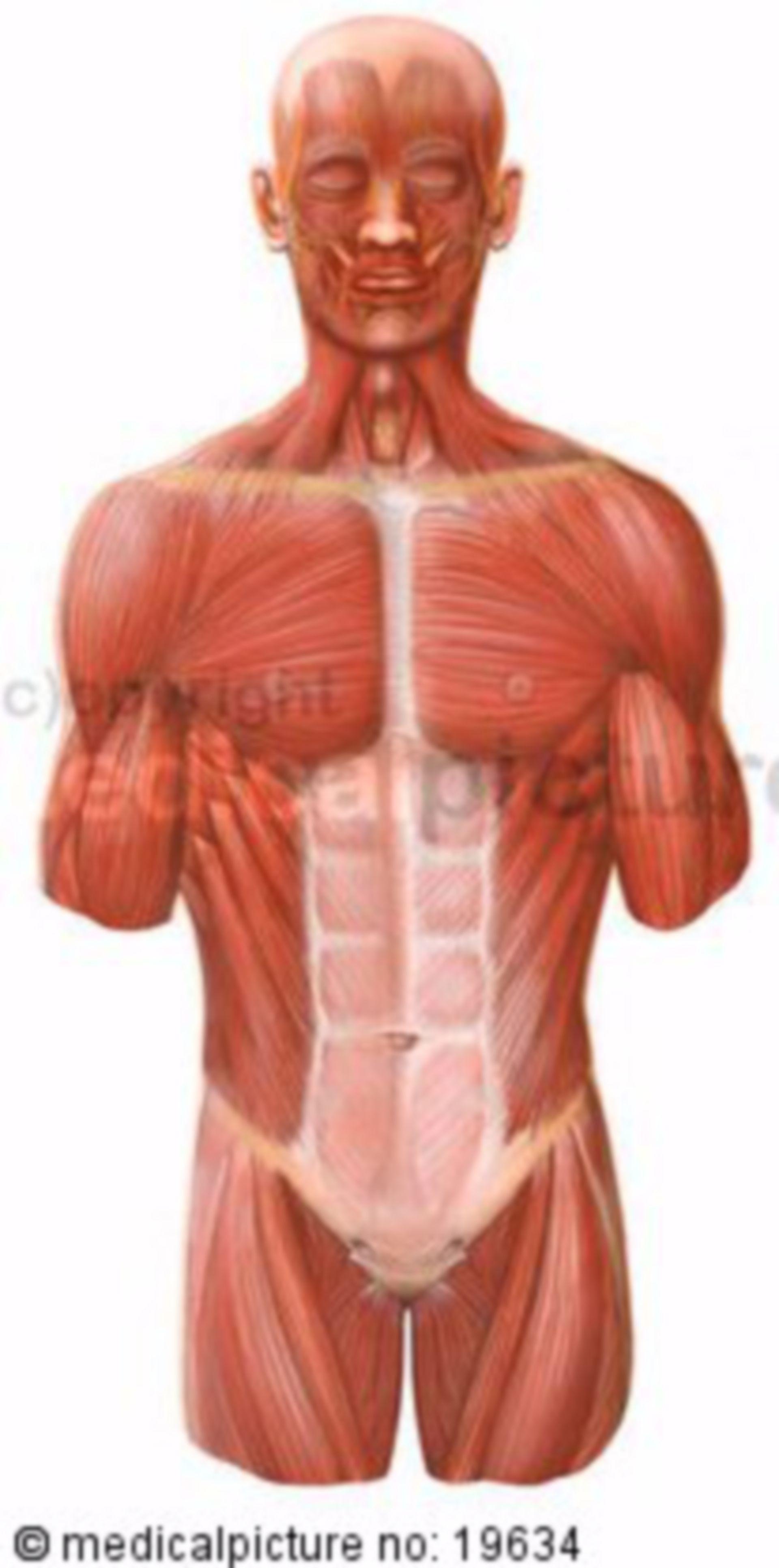 Human Torso, Ventral Musculature