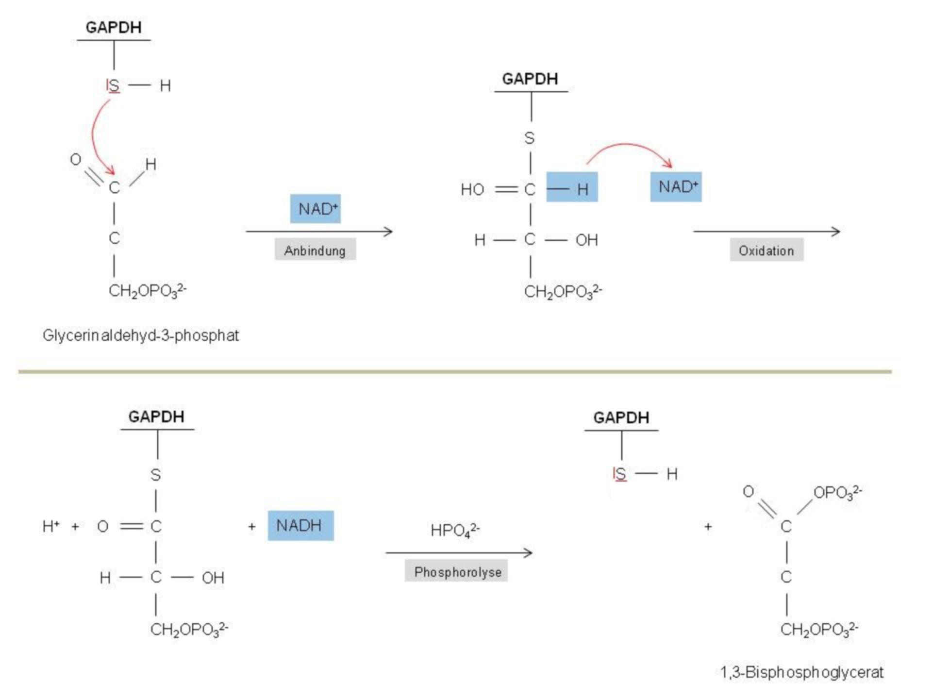 Meccanismo della reazione GAPDH