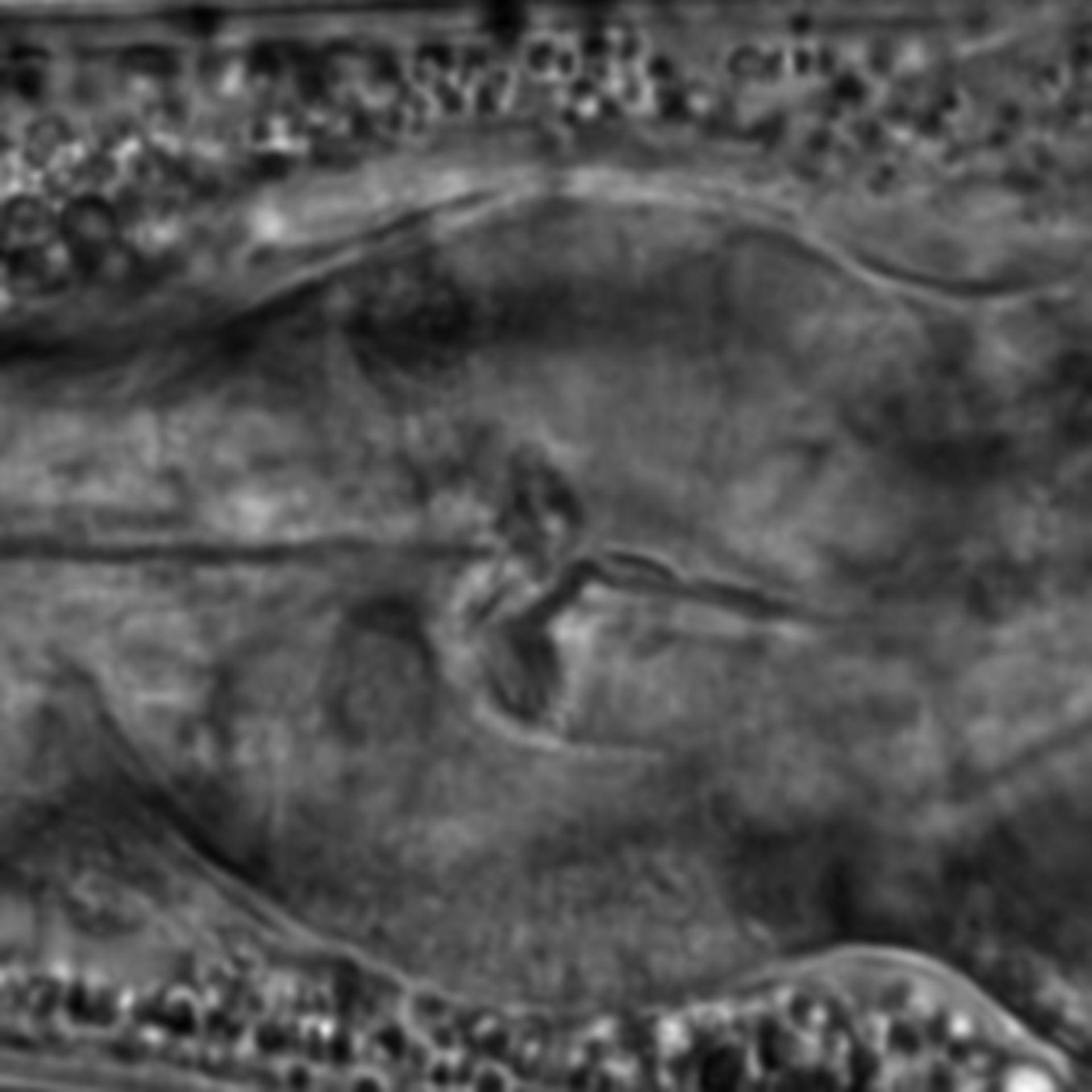 Caenorhabditis elegans - CIL:2289