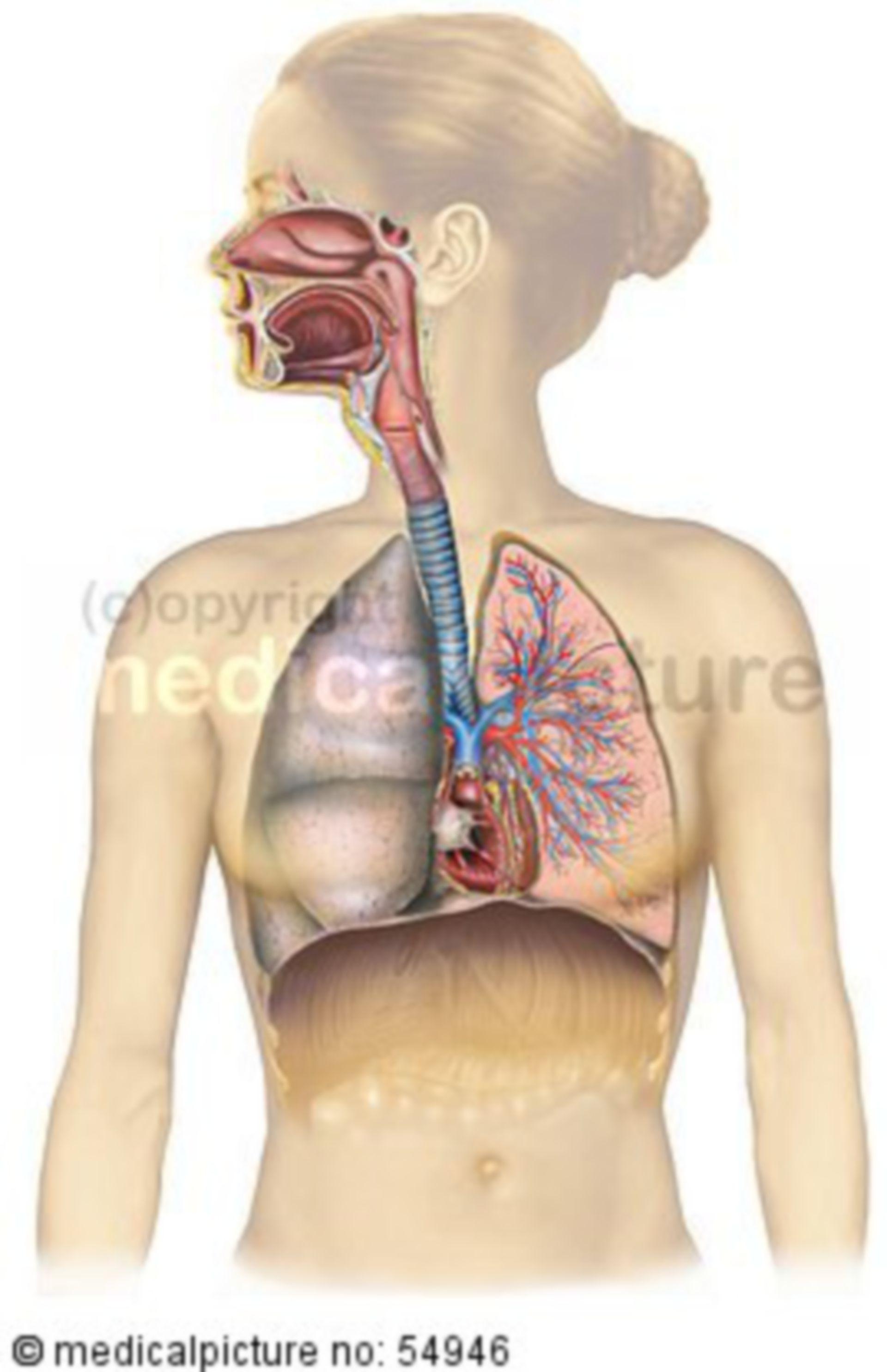 Respiratorisches System