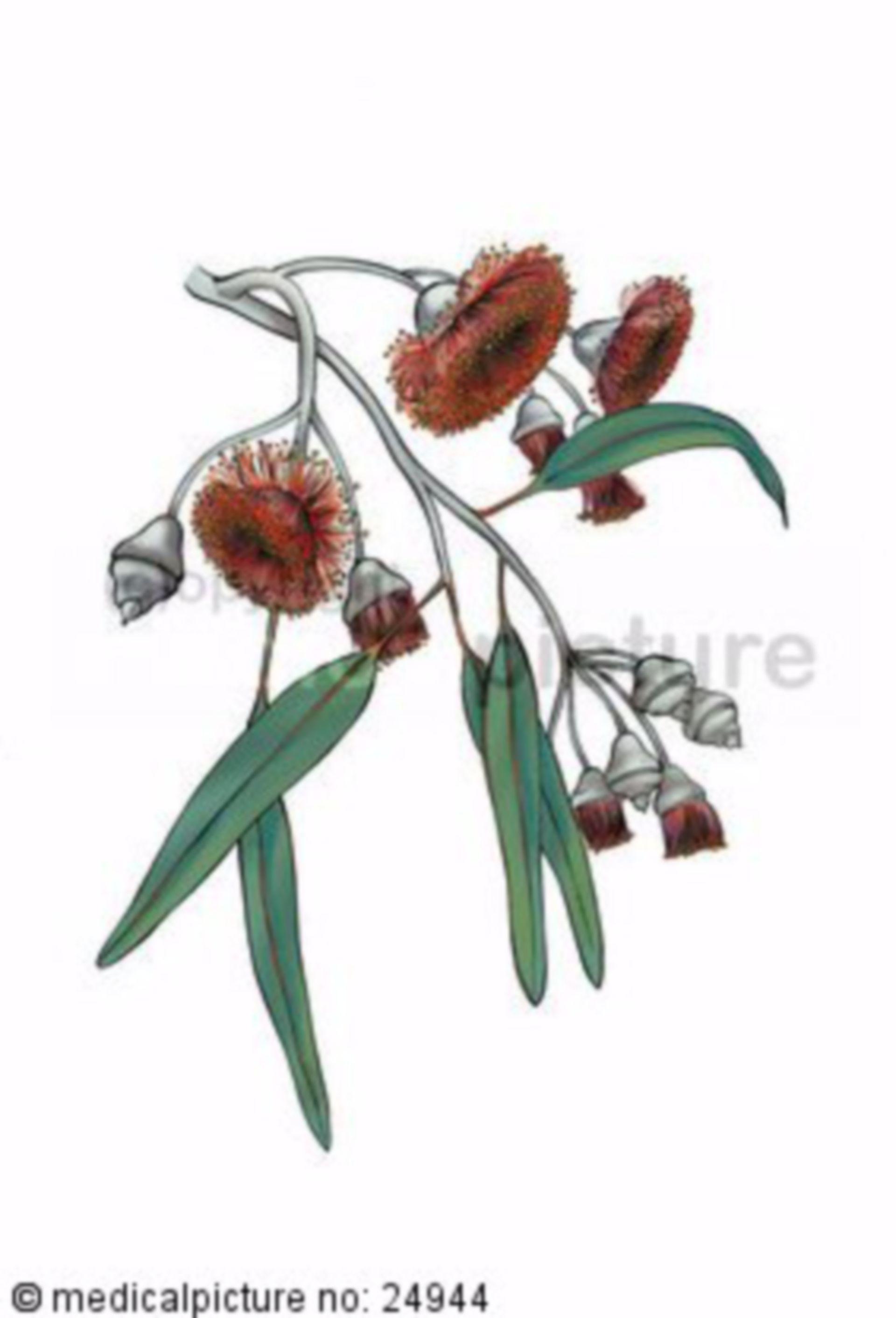 Eukalyptus, Eucalyptus caesia