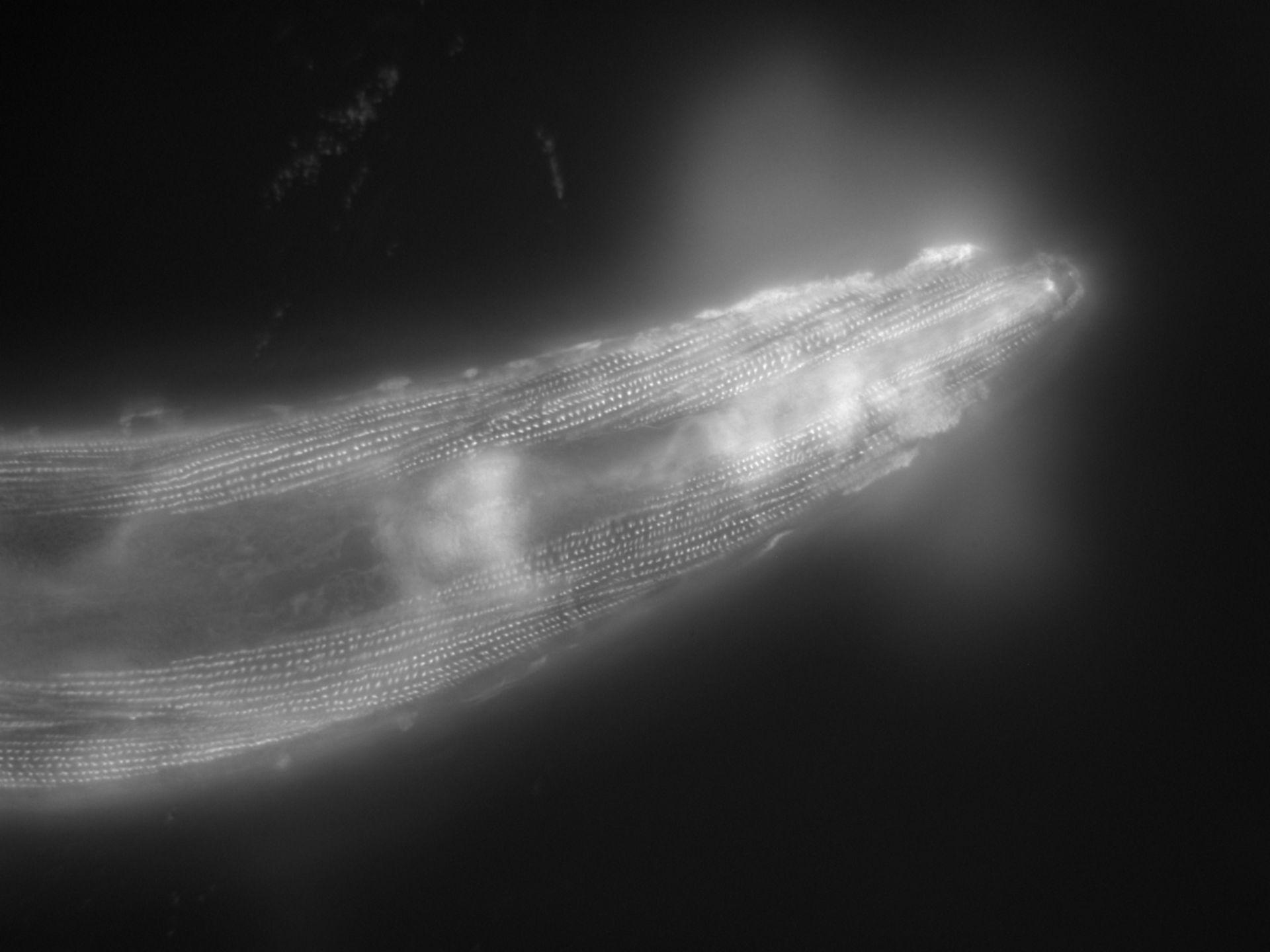 Caenorhabditis elegans (Actin filament) - CIL:1165