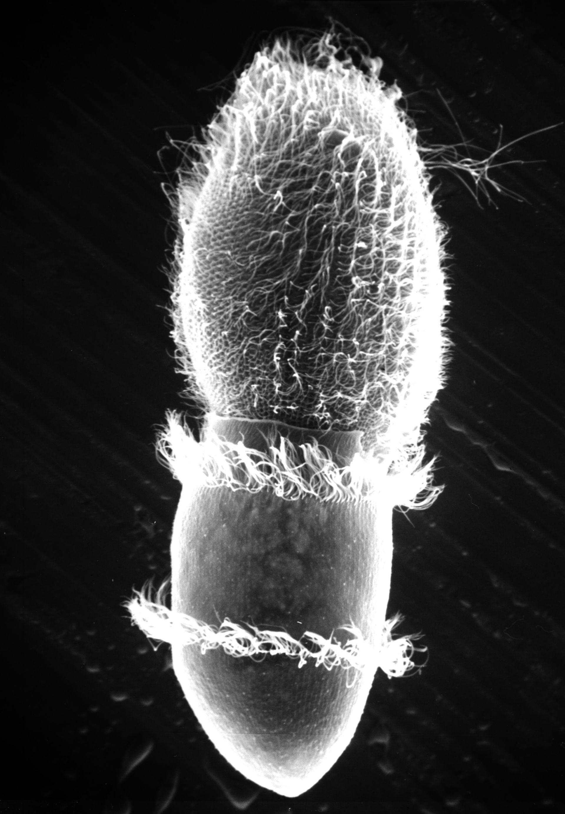 Paramecium sp. (Tricocisti) - CIL:17892