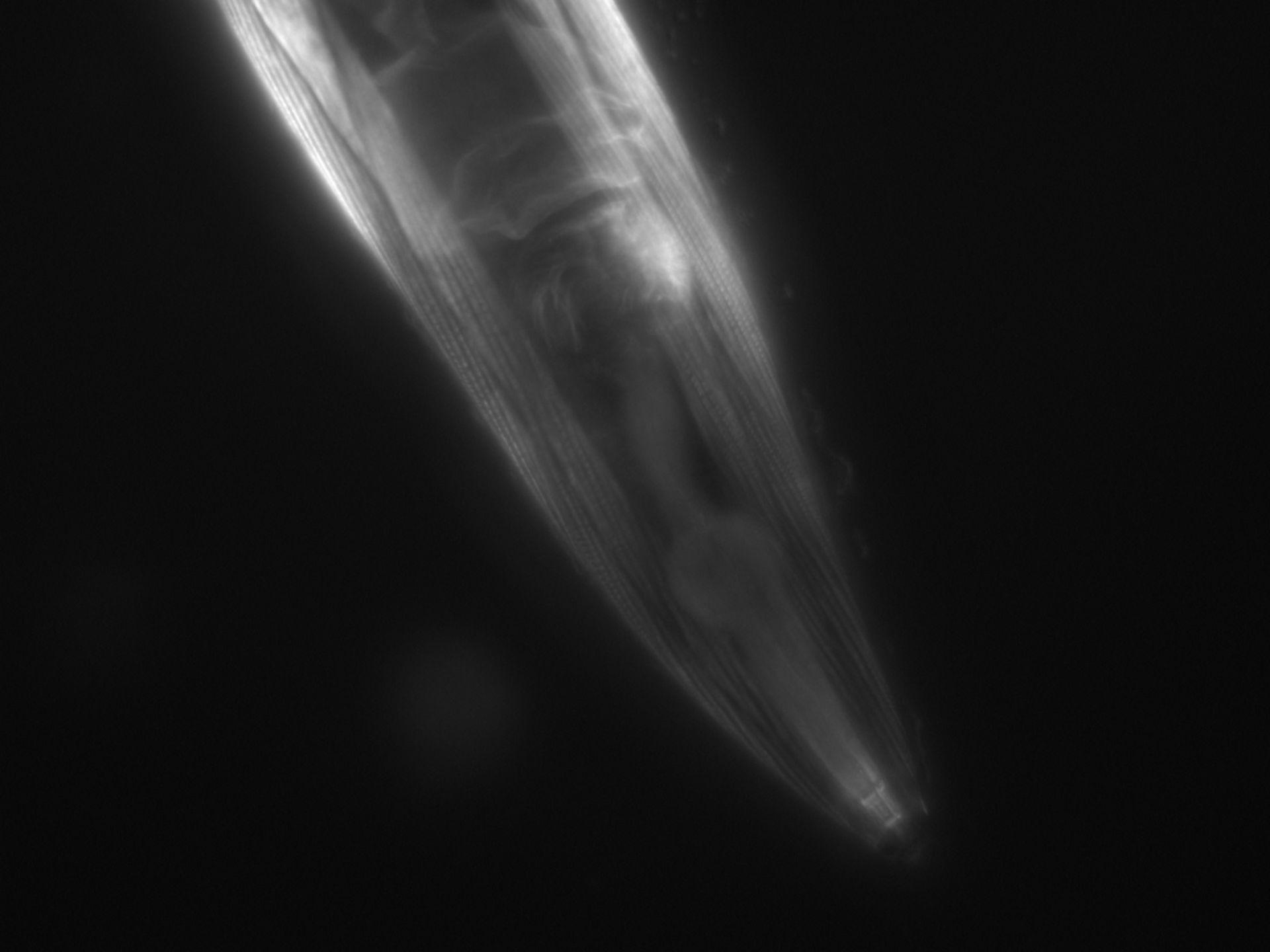 Caenorhabditis elegans (filamento di actina) - CIL:1068