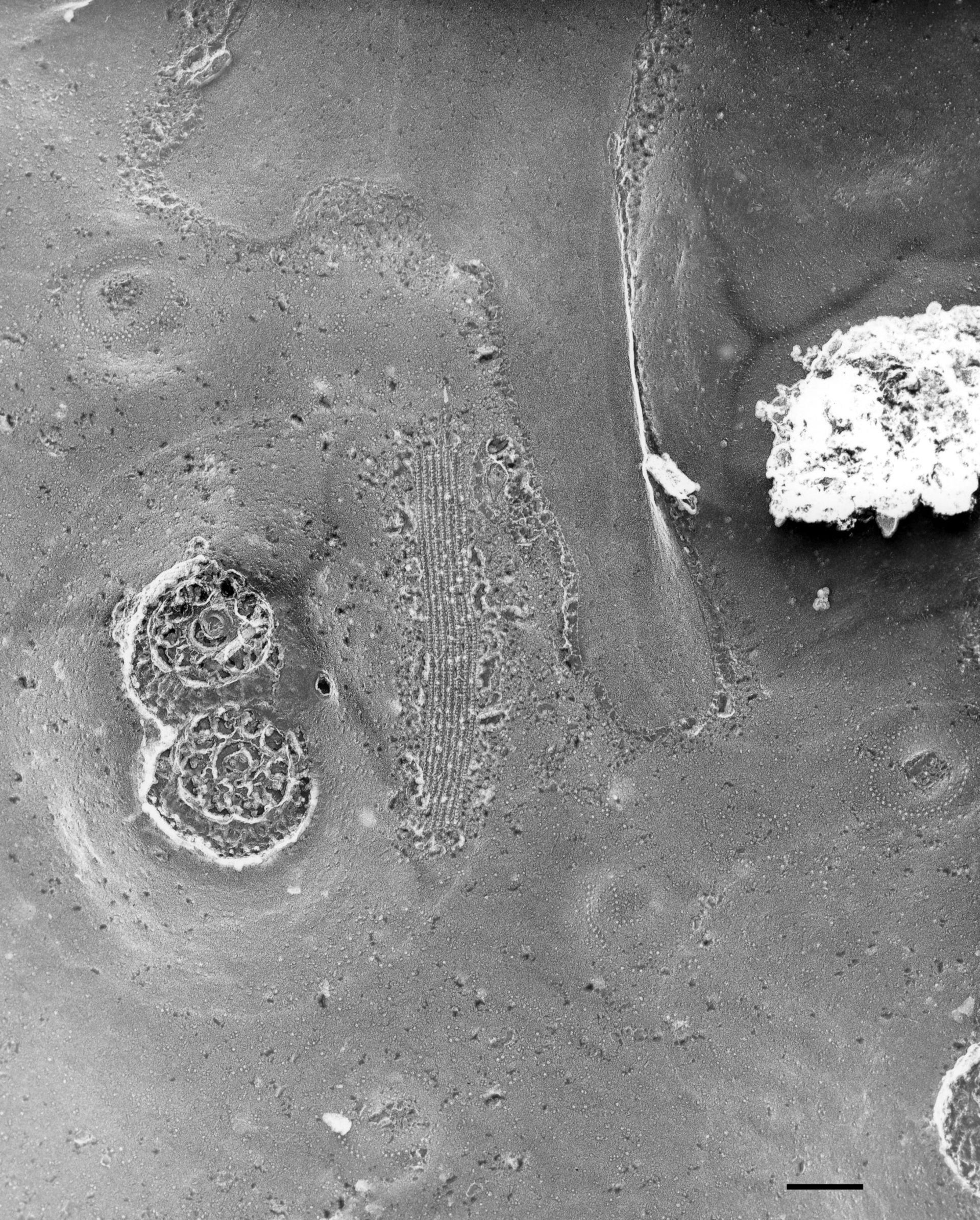Paramecium multimicronucleatum (Pellicole) - CIL:36614