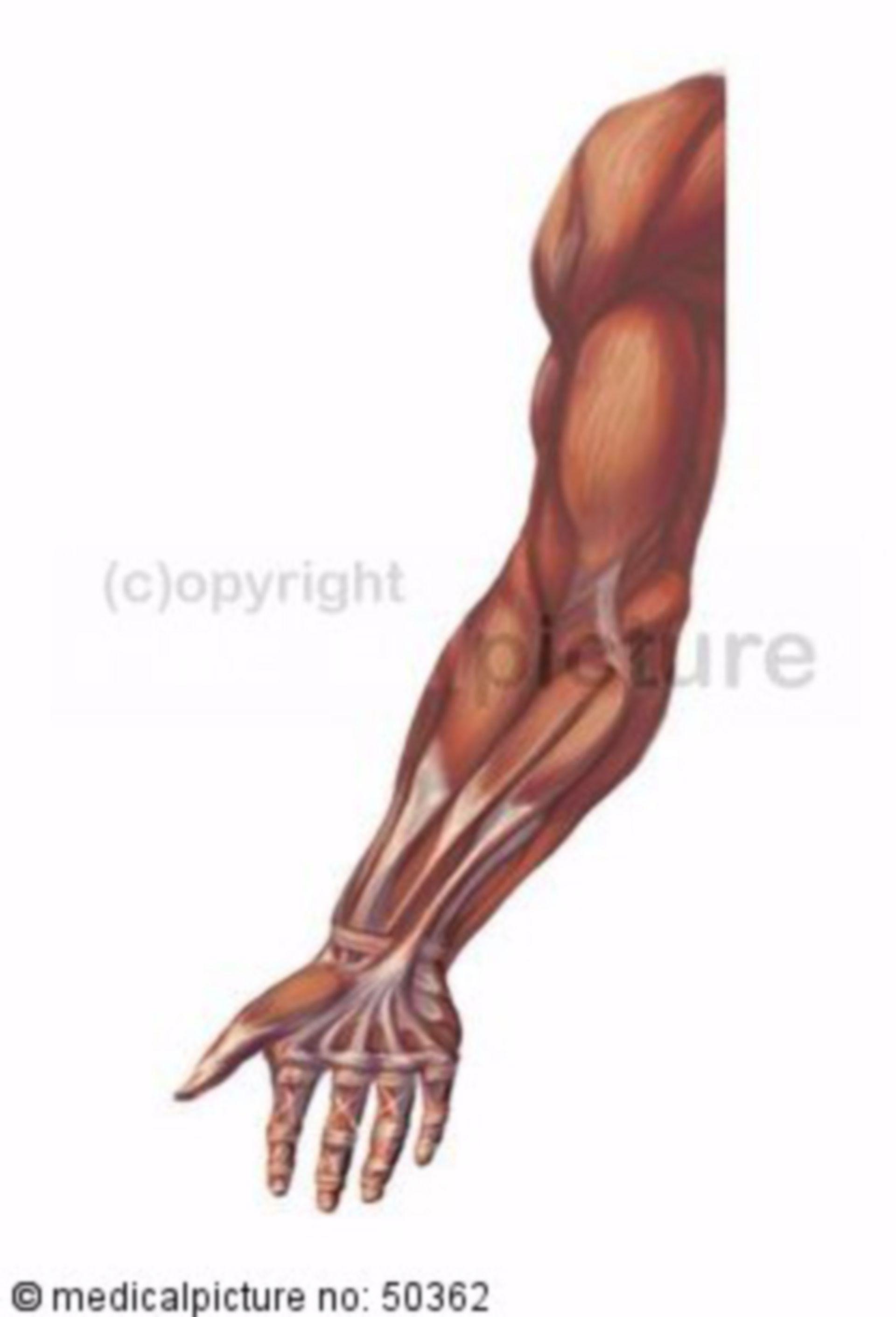 Armmuskulatur