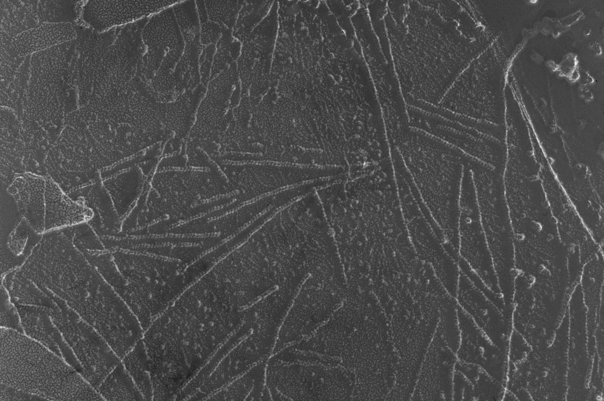 Oryctolagus cuniculus (Cytoskeleton) - CIL:6269