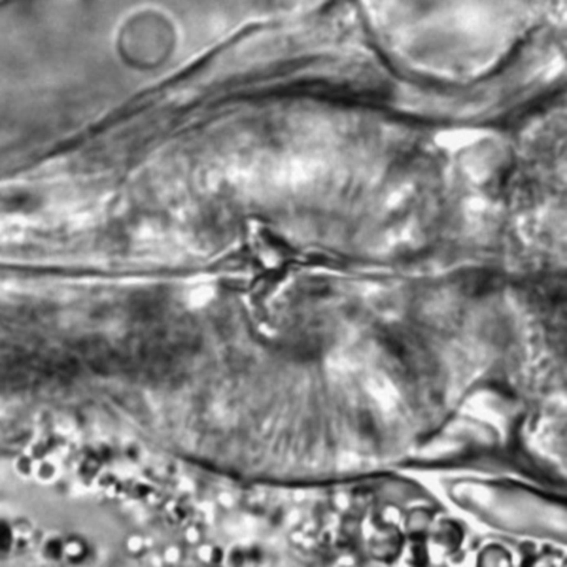 Caenorhabditis elegans - CIL:1766