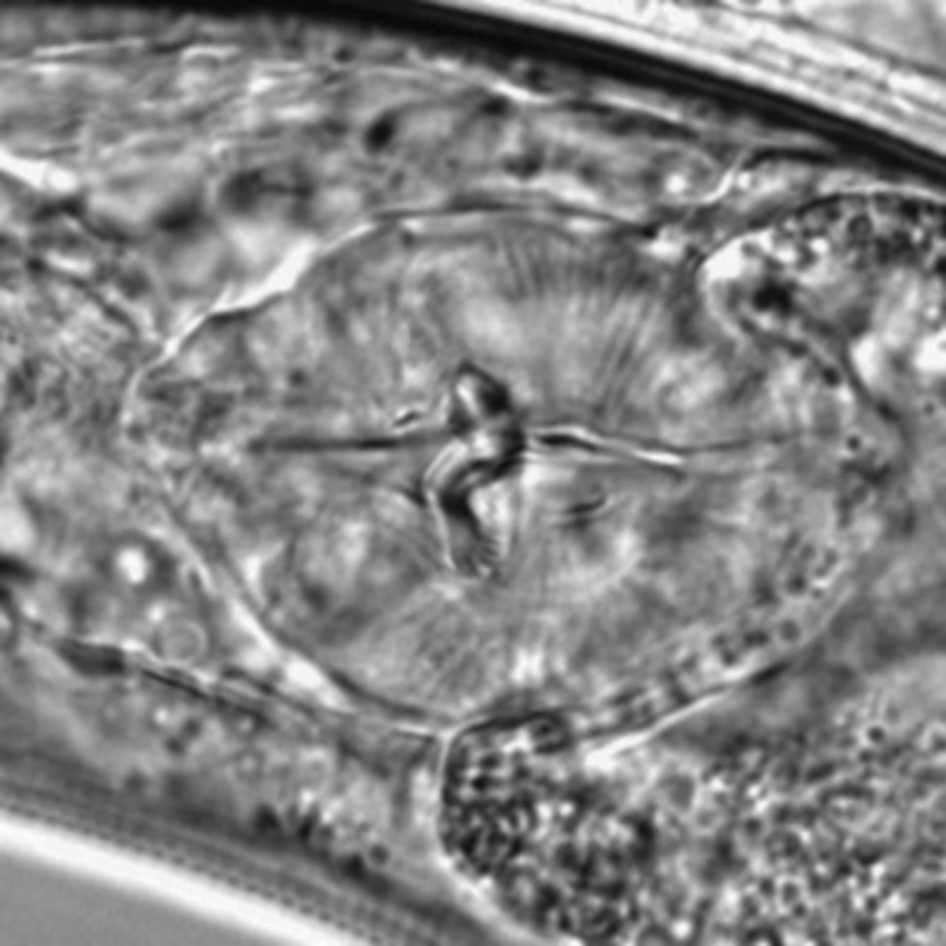 Caenorhabditis elegans - CIL:1636