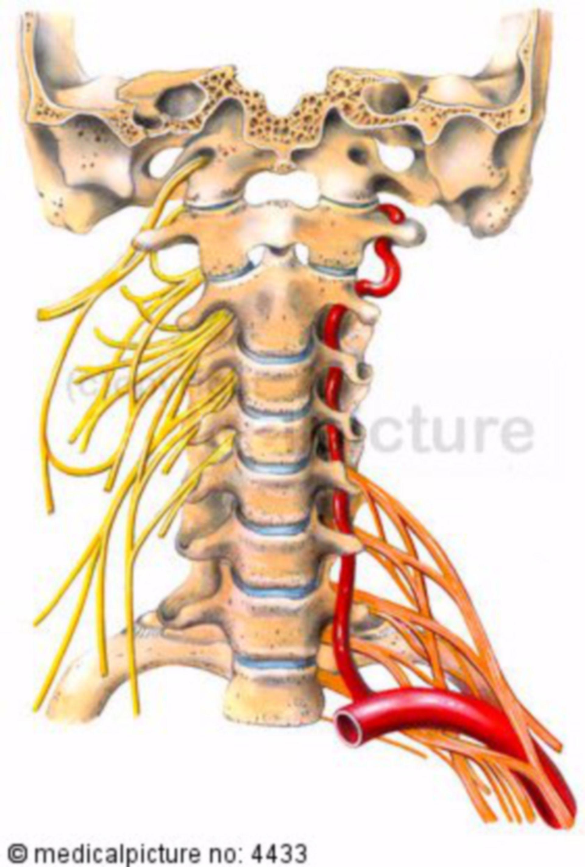 Colonna cervicale con plesso nervoso