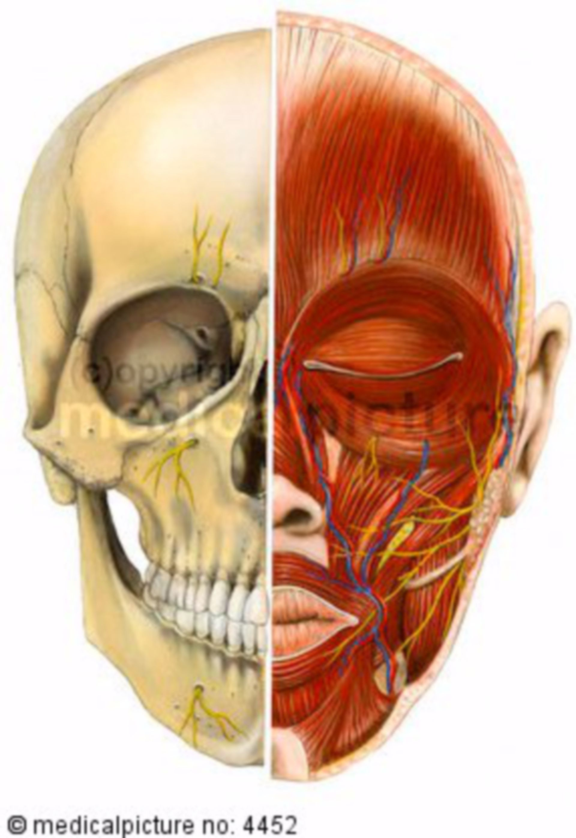 Head, muscle, nerves