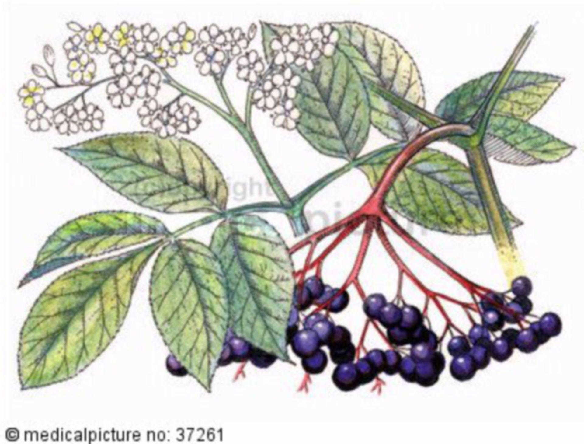Shrub, Sambucus nigra, black elderberry