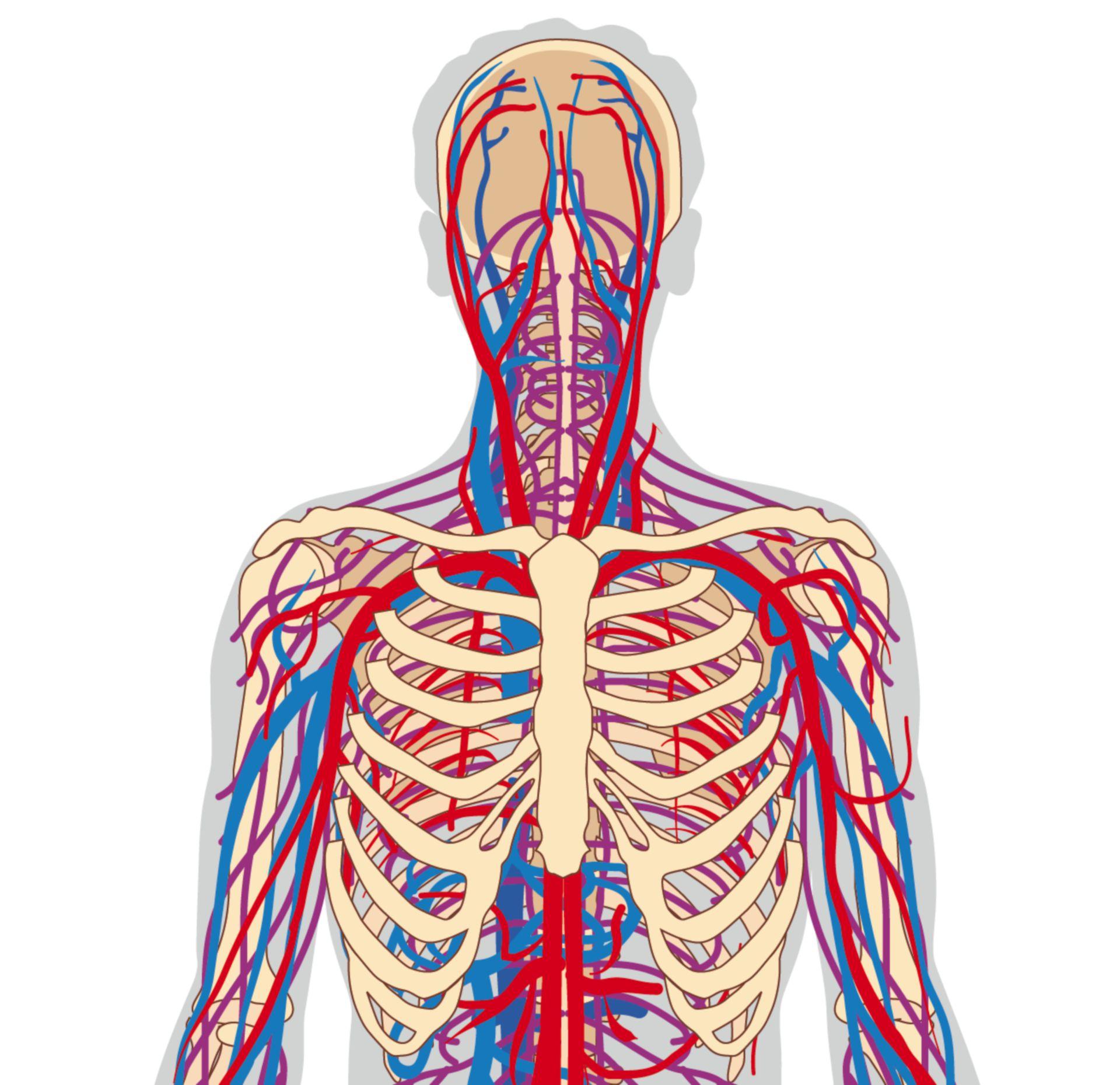 Blood supplying vessels