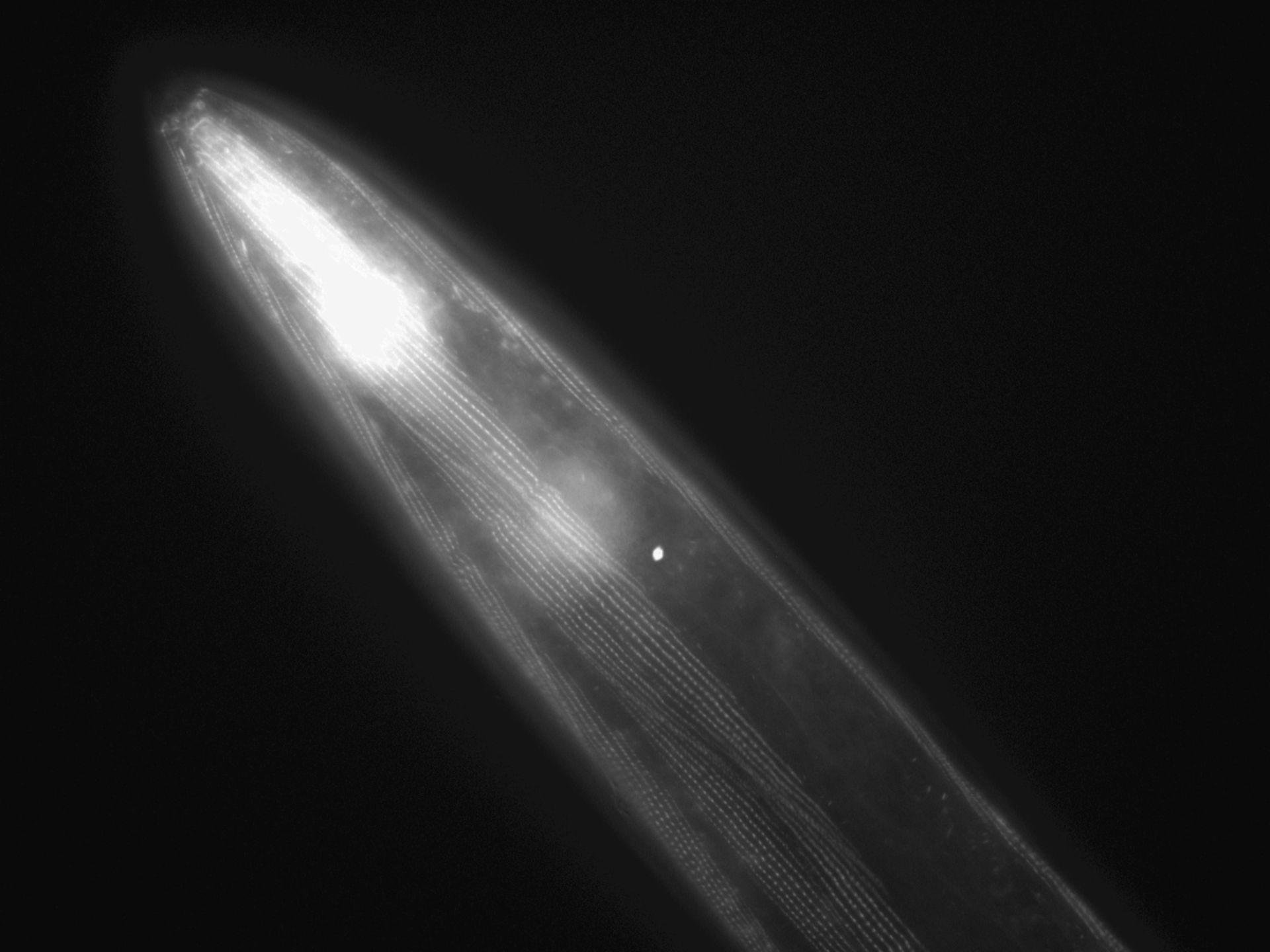 Caenorhabditis elegans (filamento di actina) - CIL:1019