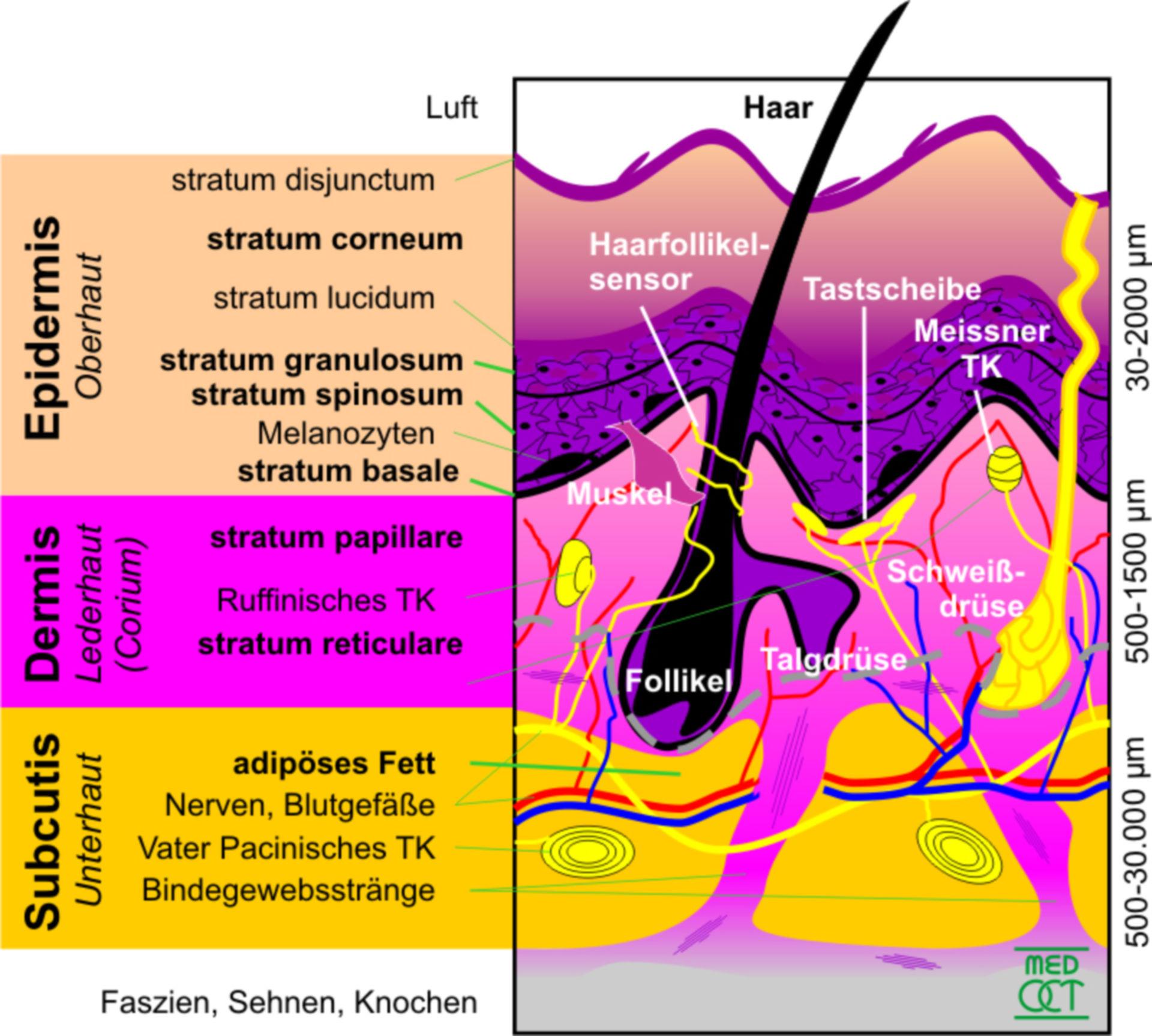 Aufbau der menschlichen Haut (Schema)