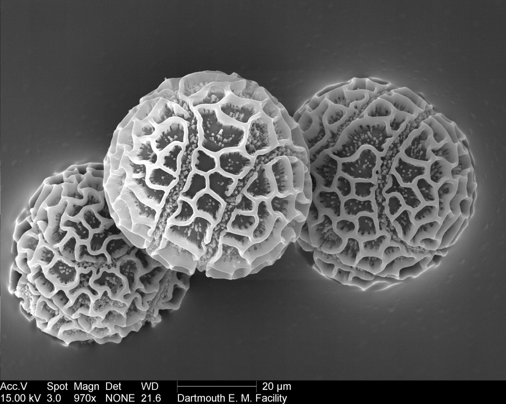 Passiflora edulis (Pollen wall) - CIL:39344
