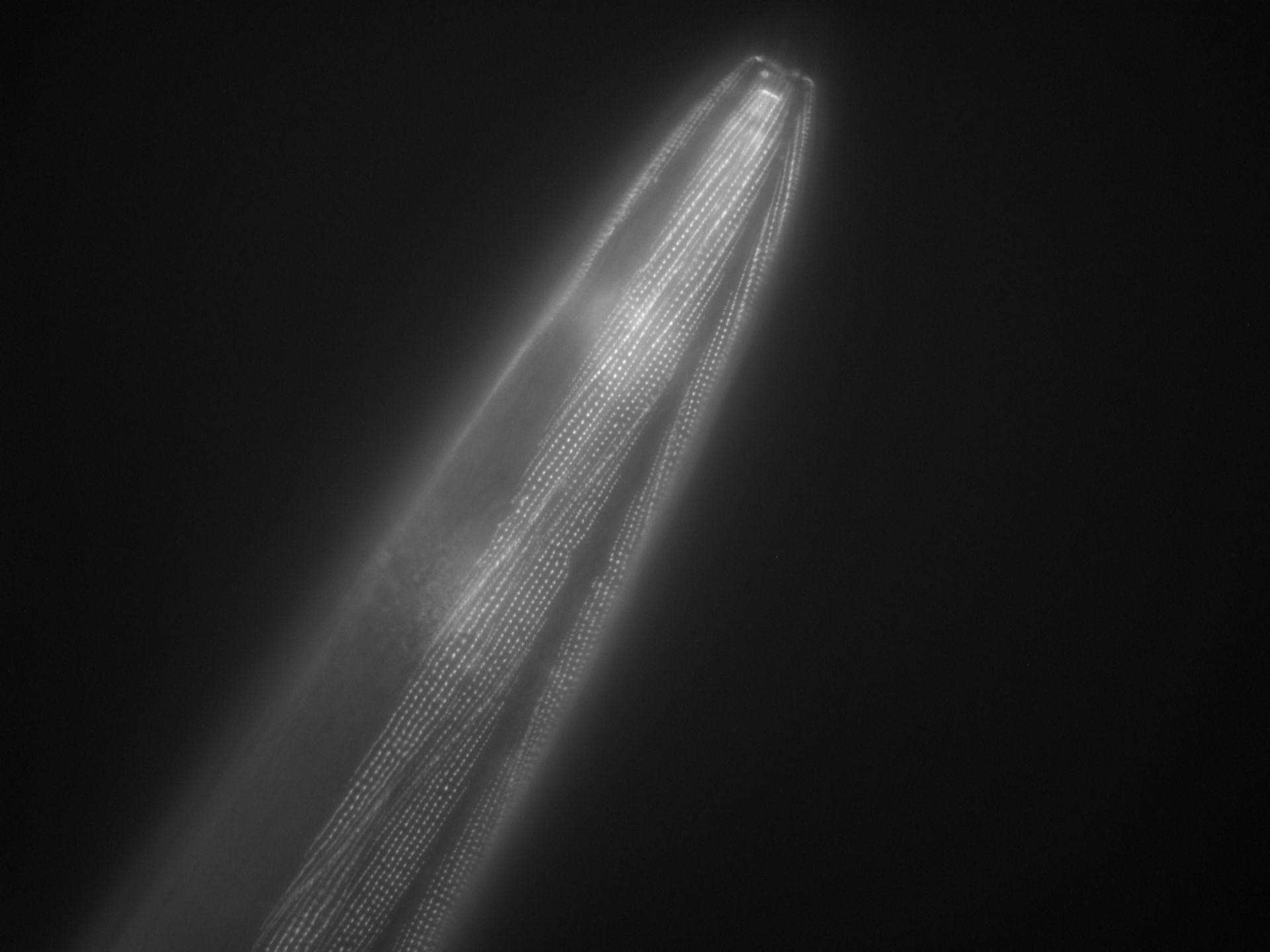 Caenorhabditis elegans (filamento di actina) - CIL:1051