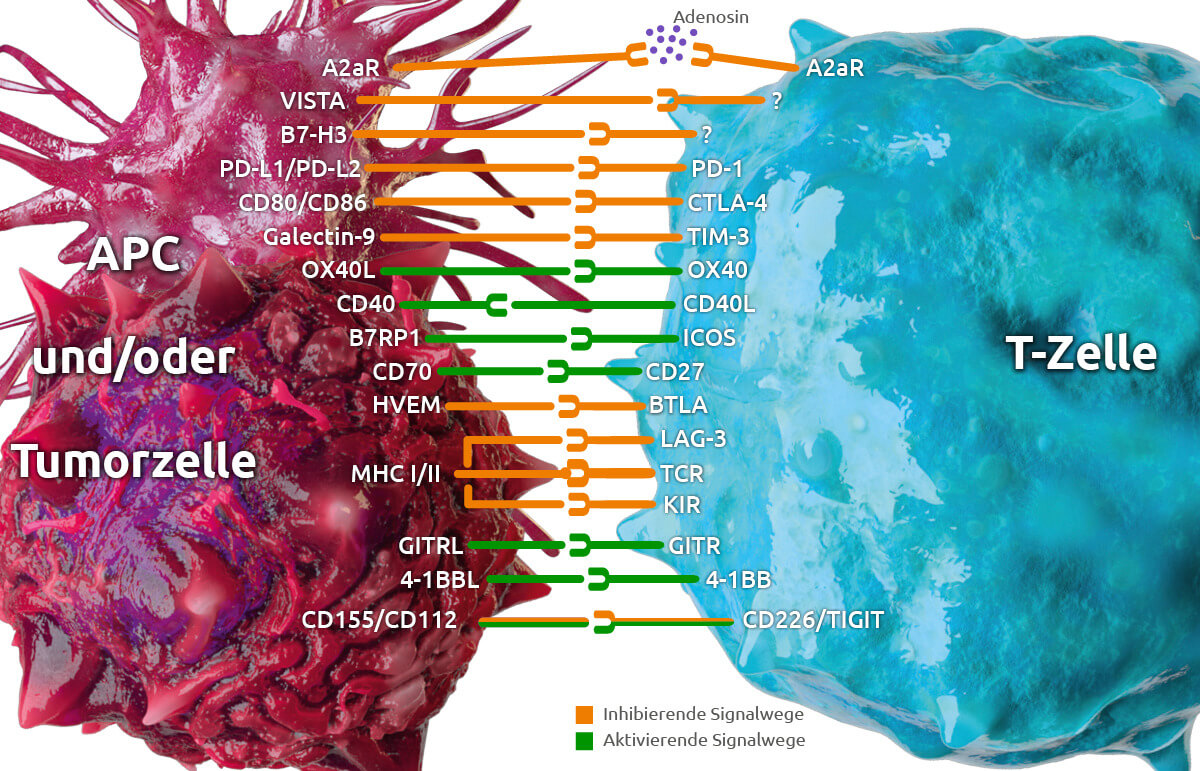01-immun-checkpoint-molekuele.jpg_original.jpg